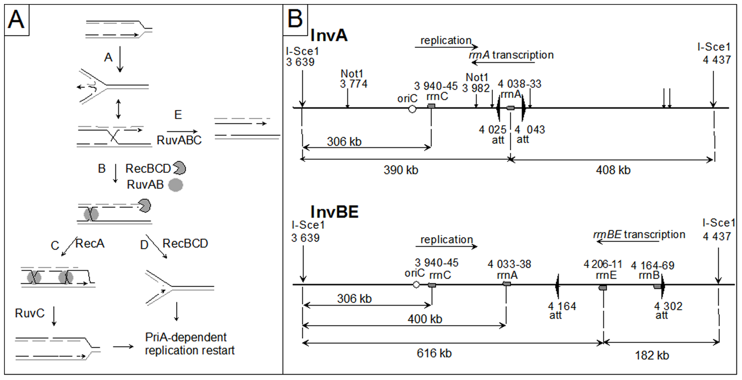 Replication fork reversal model and schematic representation of the I-SceI fragment carrying the inverted region in InvA and InvBE.