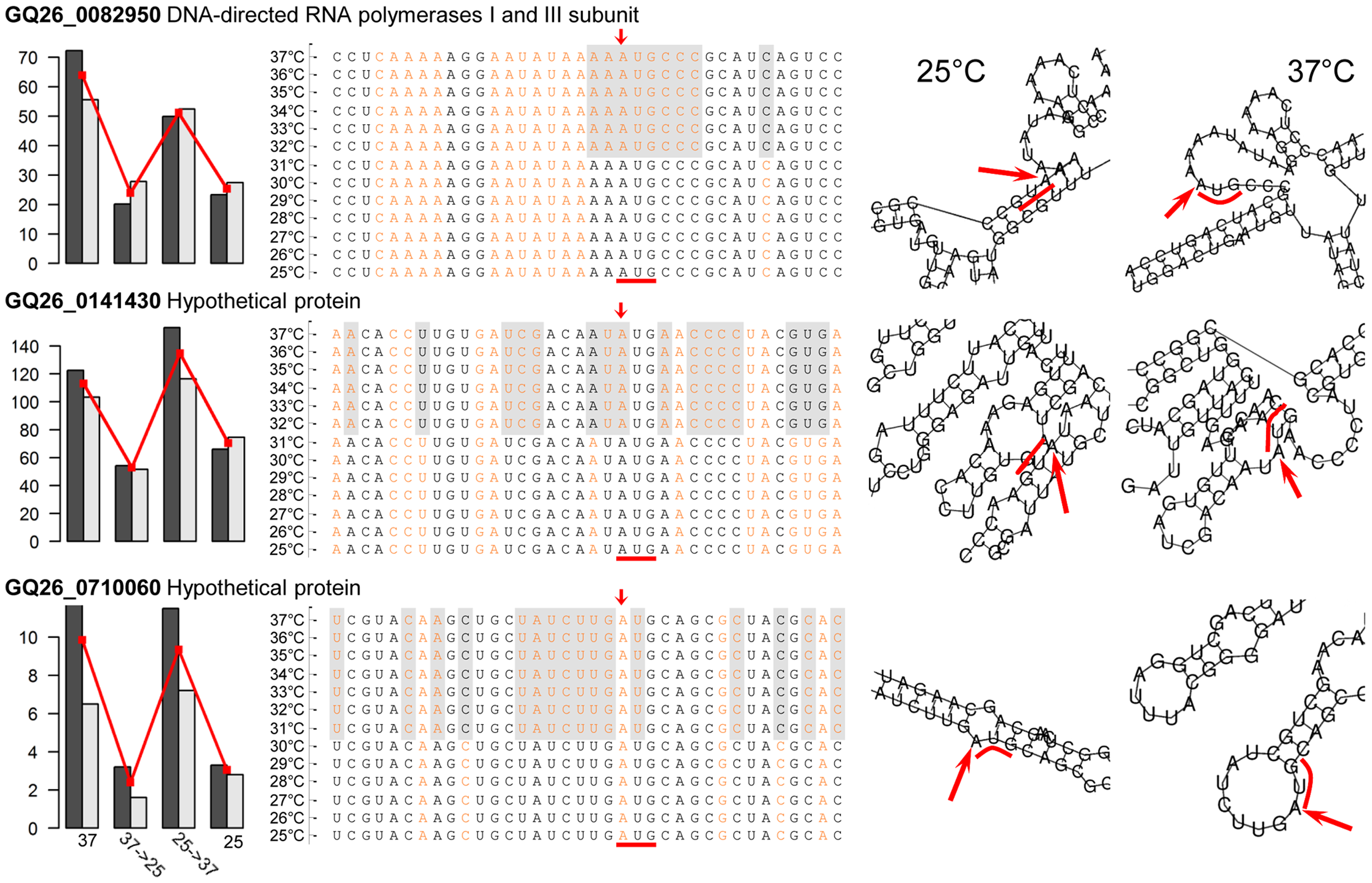 Temperature-induced structural transitions of <i>P. marneffei</i> mRNA transcripts.