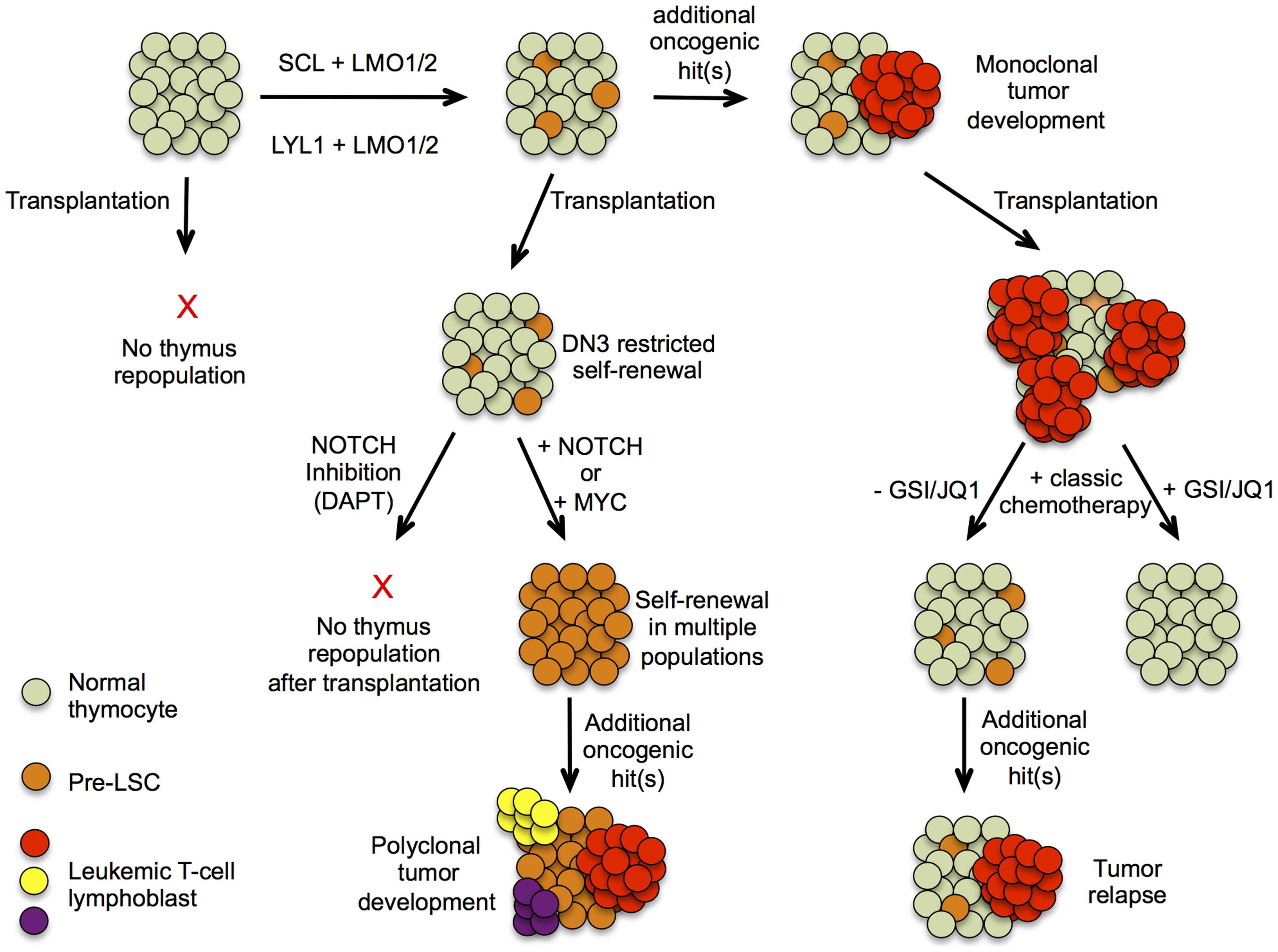 Hypothetical model describing pre-leukemic stem cells formation and T-ALL development in <i>SCL<sup>tg</sup>LMO1<sup>tg</sup></i> mice.