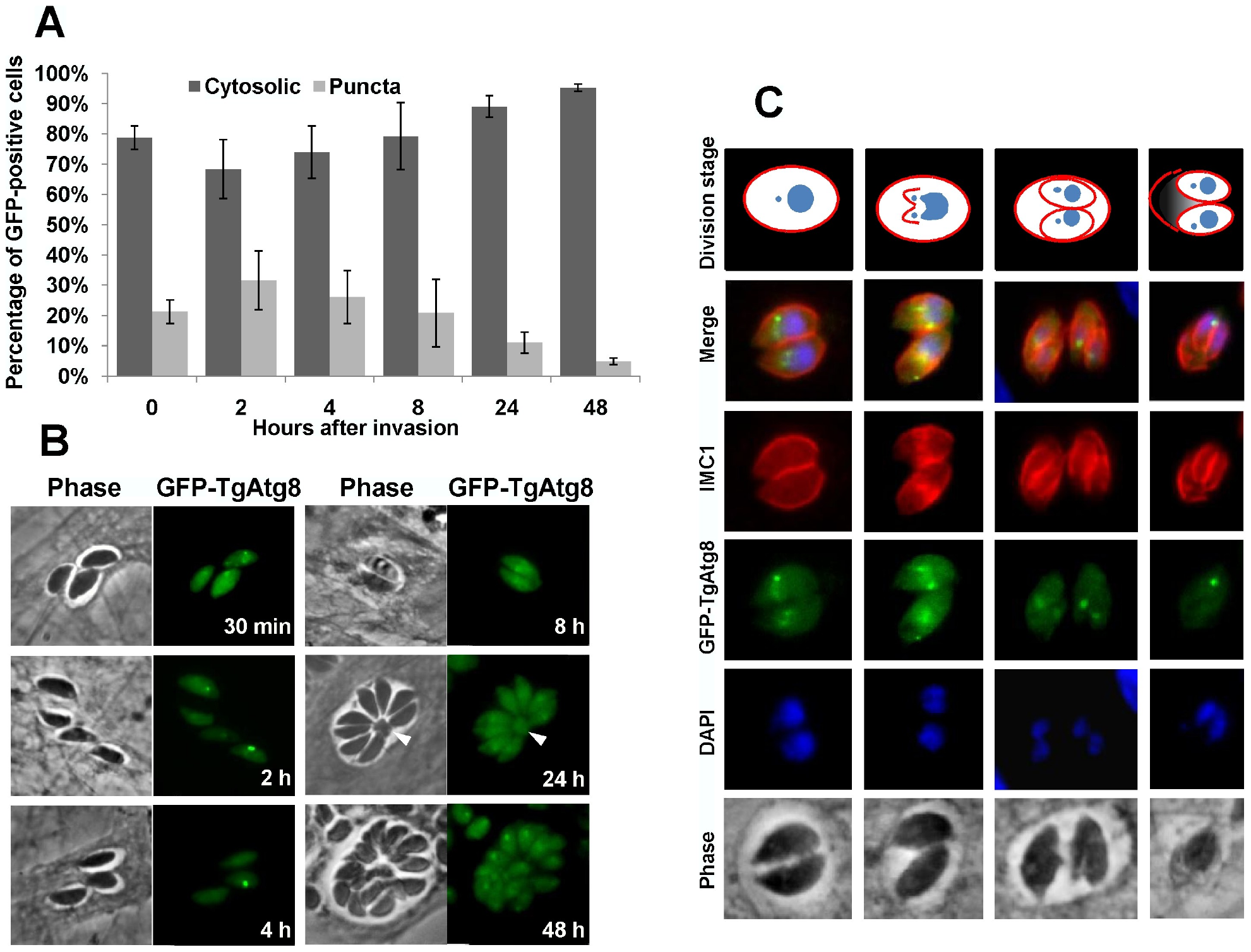Intracellular tachyzoites display autophagosomes, but these do not seem to be involved in the recycling of mother cell residual material.