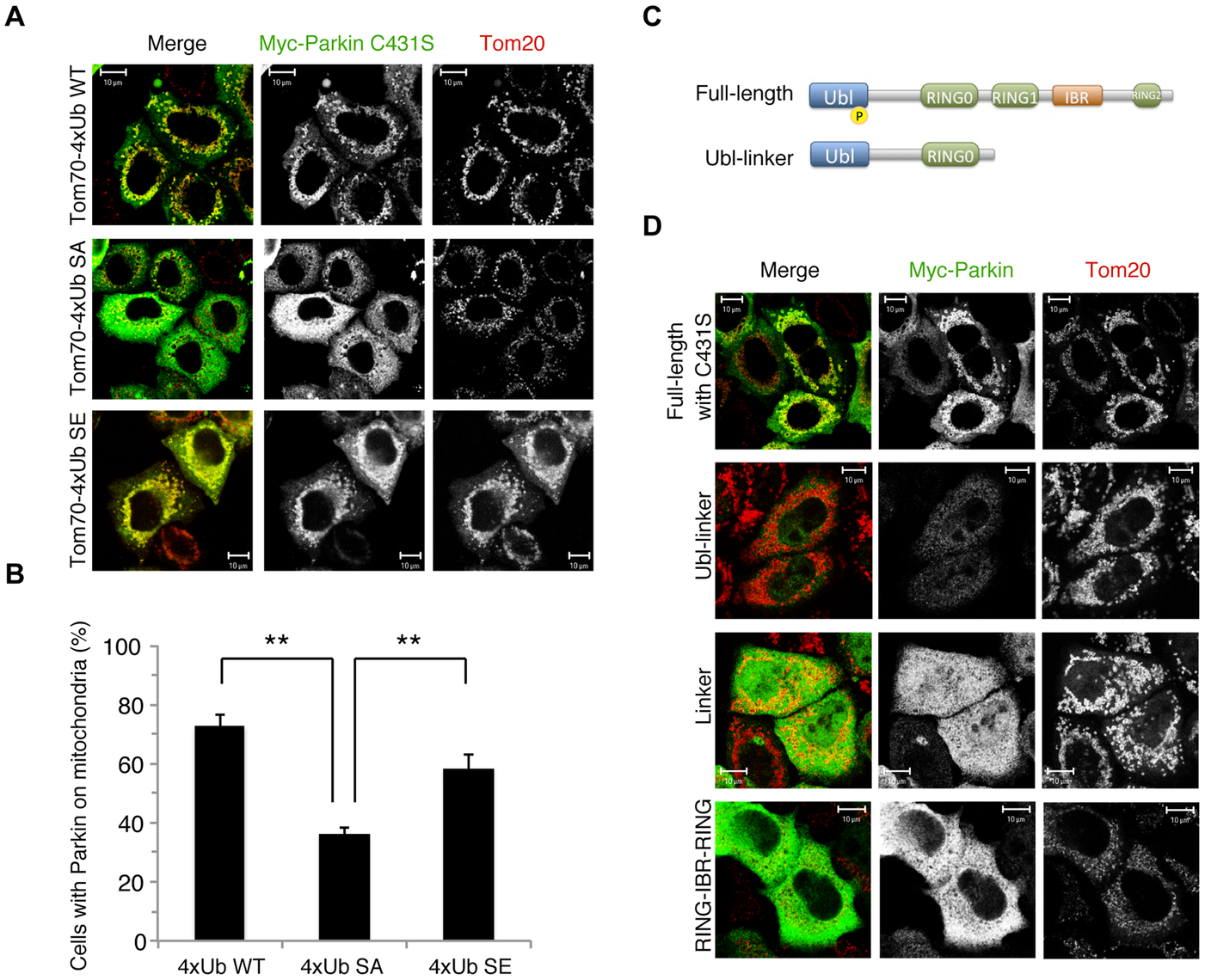 Phospho-polyUb chain mimic stimulates the mitochondrial translocation of Parkin independently of Parkin E3 activity.