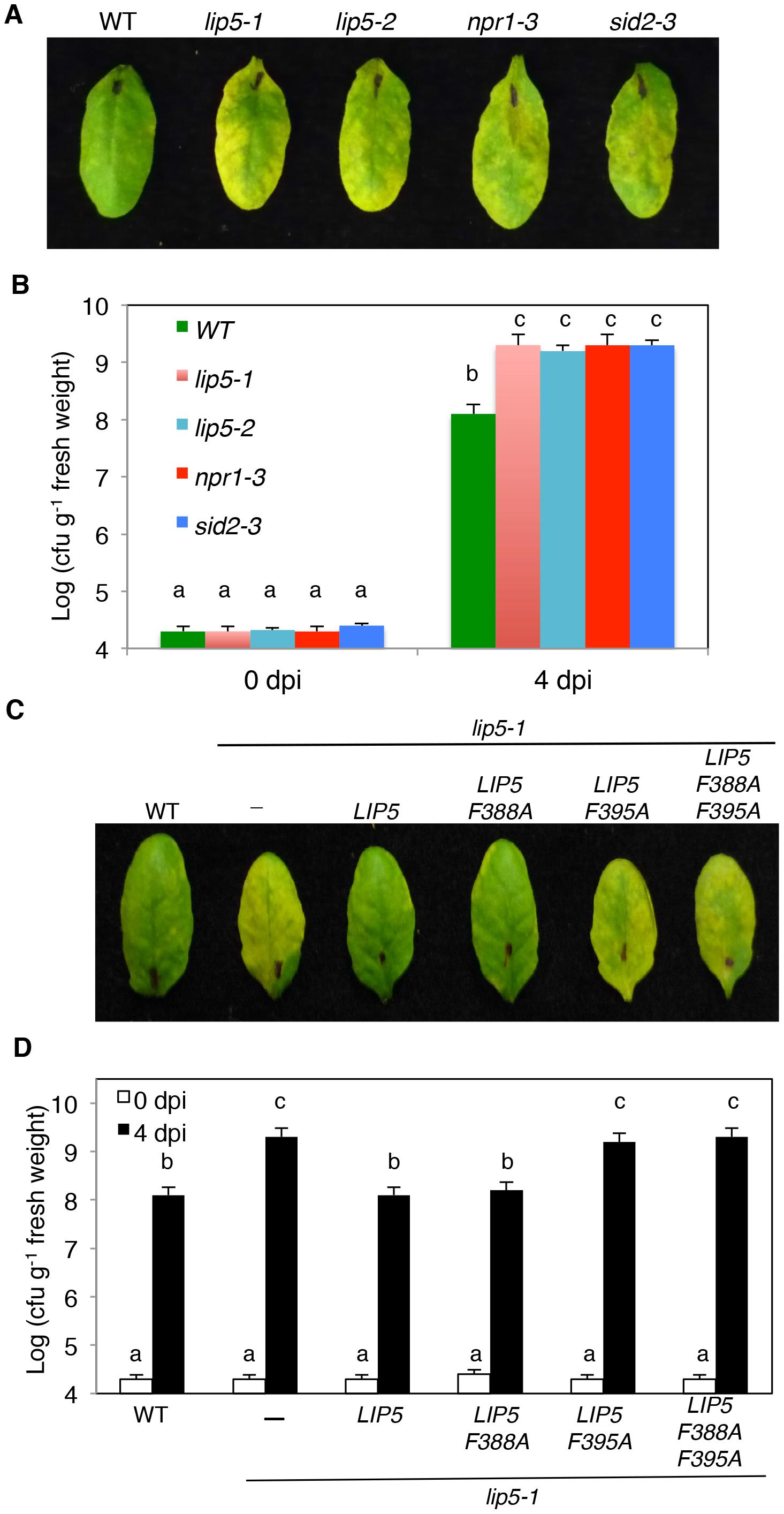 Analysis of <i>lip5</i> mutants for responses to a virulent <i>Pst</i>DC3000 strain.