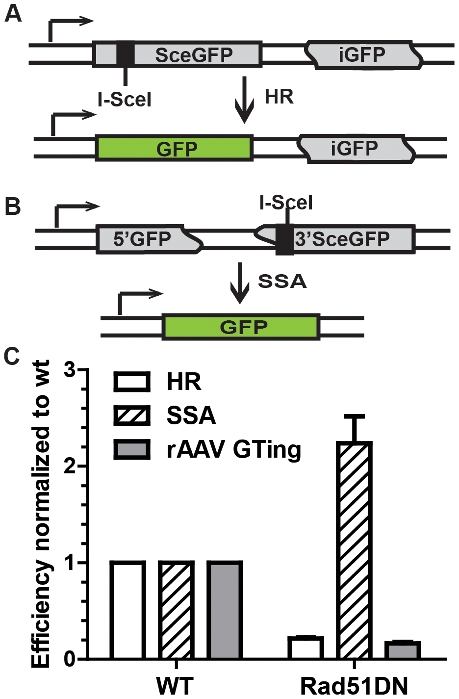 rAAV gene targeting efficiency correlates with HR, and not single strand annealing, activity.