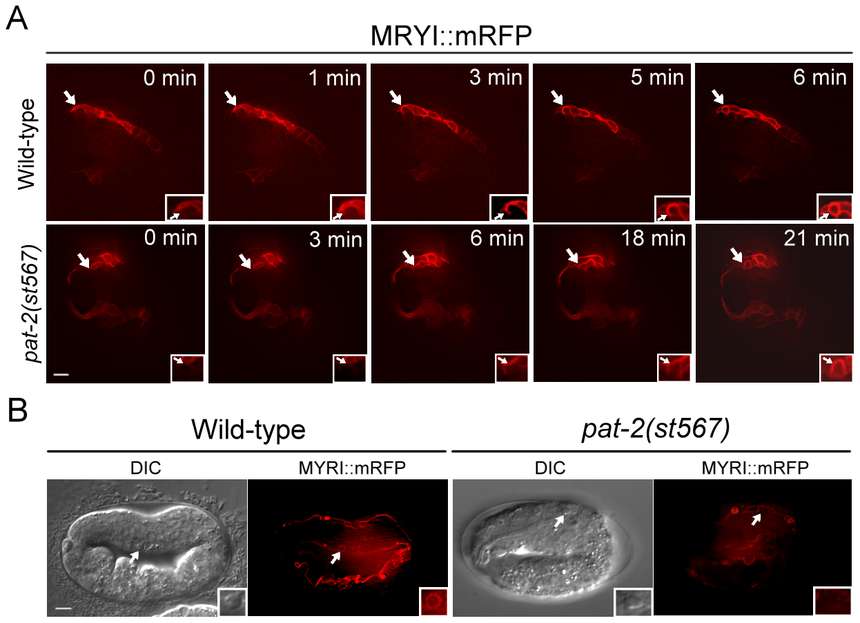 PAT-2 is required for the internalization of apoptotic cells.