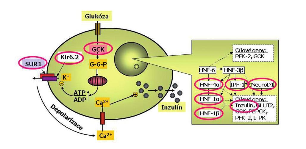 Schéma beta-buňky s vyznačením příčin monogenního diabetu. Beta-buňka je jedna z nejdokonalejších buněk lidského těla. Dokáže trvale sledovat glykémii, vyrábět inzulin do zásoby a vydávat jej do krve s cílem udržovat glykémii v normálním rozmezí a umožnit optimální využití glukózy. Každá betabuňka dokáže za minutu vyrobit až jeden milion molekul inzulinu. Glukóza vstupuje do beta-buňky v závislosti na okolní koncentraci glukózy. V beta-buňce se glukózy ujímá enzym glukokináza (GCK), označovaný jako senzor beta-buňky pro glukózu. Další zpracování glukózy probíhá v mitochondriích a vede ke změně poměru ATP:ADP. To je podnětem pro změnu prostupnosti draslíkového kanálu. Ten má dvě podjednotky – Kir6.2 a SUR1 (tzv. sulfonylureový receptor). Výstup draslíkových iontů z buňky změní membránový potenciál a tím otevře vápníkový kanál. Zvýšení koncentrace vápníkových iontů v beta-buňce je podnětem pro exocytózu inzulinu. Přepis klíčových genů v jádře beta-buňky je kontrolován transkripční regulační sítí. Porucha některého jejího článku může  způsobit tzv. diabetes transkripčních faktorů. Příčinou diabetu může být i porucha inzulinového genu (podle Štěpánky Průhové).