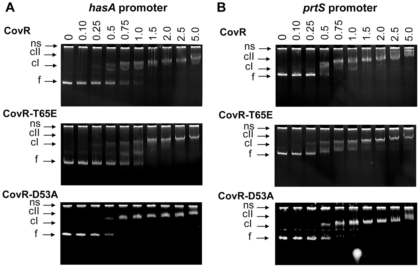 CovR-D53A and CovR-T65E bind CovR-regulated promoters with similar affinity to unphosphorylated CovR.
