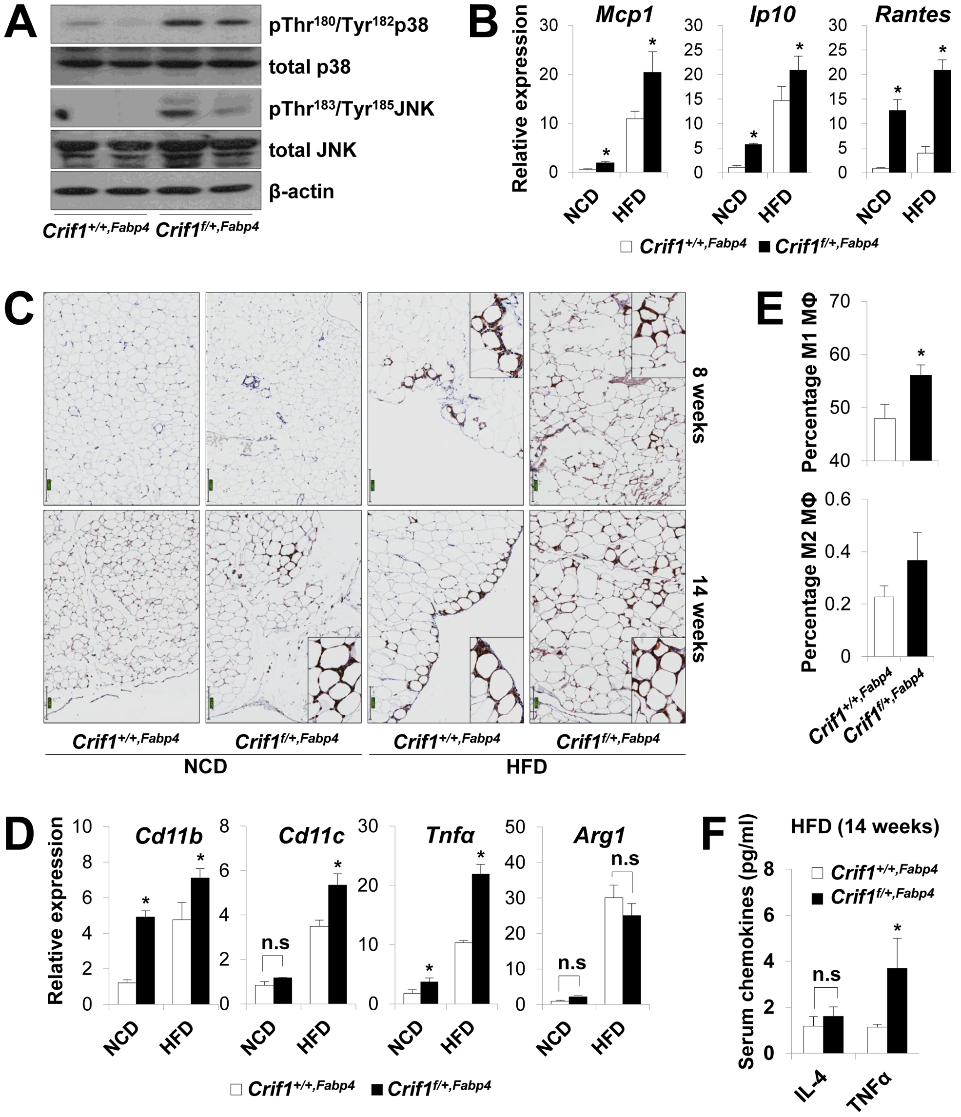 Macrophage infiltration and inflammation in adipose tissue of <i>Crif1<sup>f/+,Fabp4</sup></i> mice.