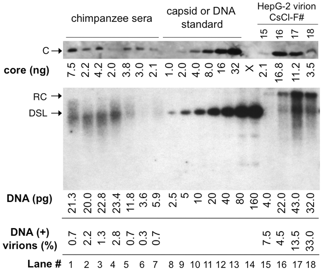 Quantitative analyses of DNA-filled and empty virions secreted by WT HBV <i>in vitro</i> and <i>in vivo</i>.
