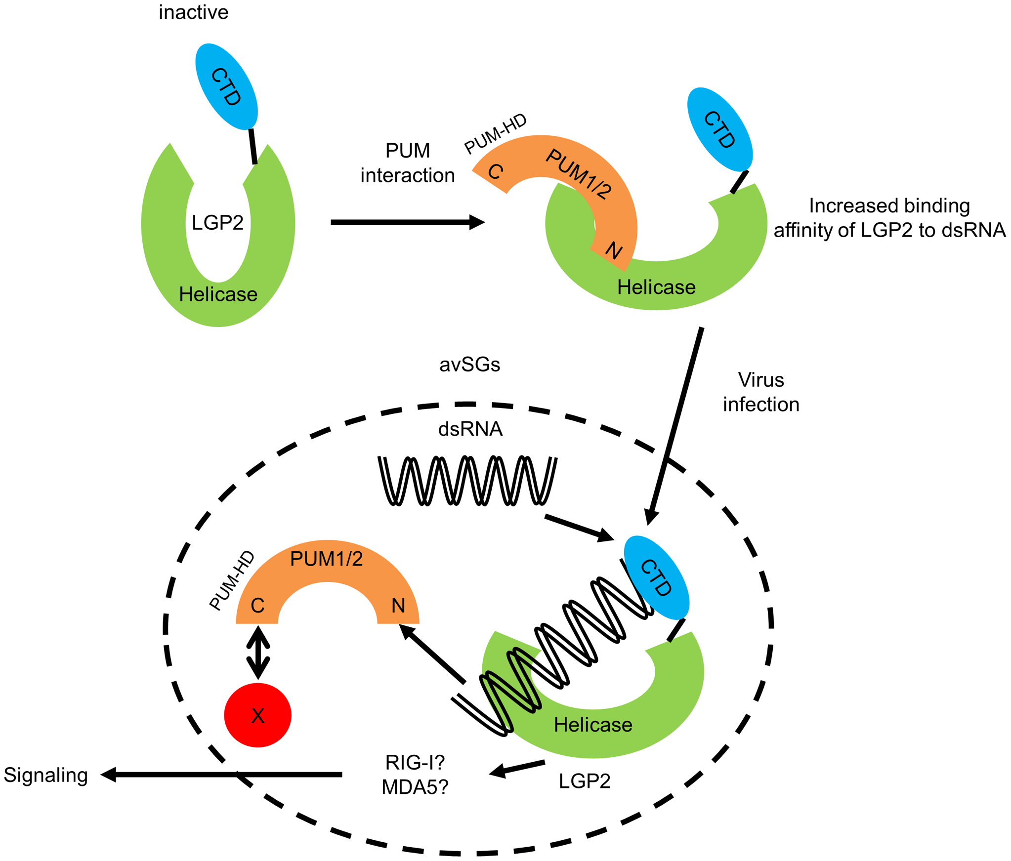 Hypothetical model for regulation of LGP2 by PUM1 and PUM2 in avSG.