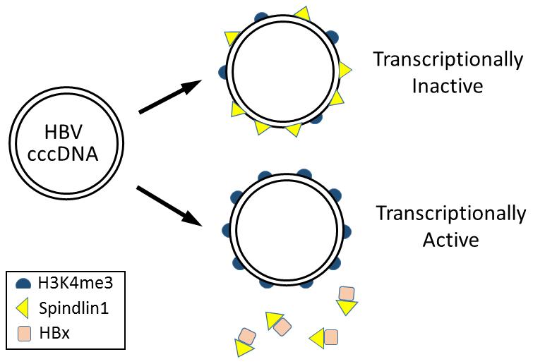 Model for epigenetic regulation of HBV gene expression by Spindlin1.