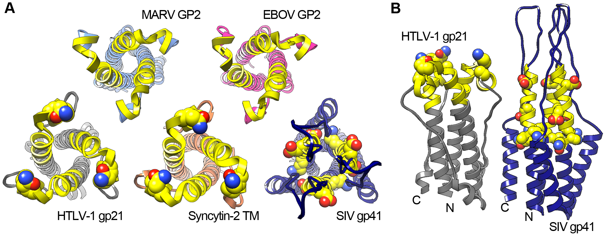 Structural conservation of the viral glycoprotein immunomodulatory region.