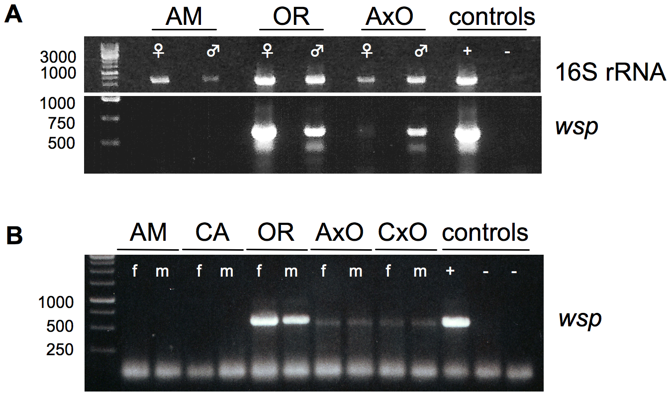 Presence of germline-associated microbes in <i>D. paulistorum</i> semispecies and their sterile hybrids.