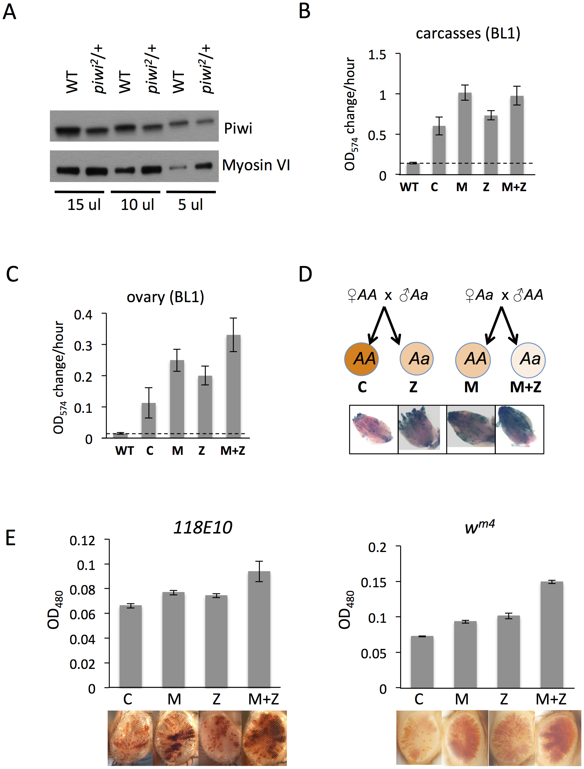 The suppression of variegation in response to Piwi depletion reflects the reduced level of Piwi protein in the early embryo.