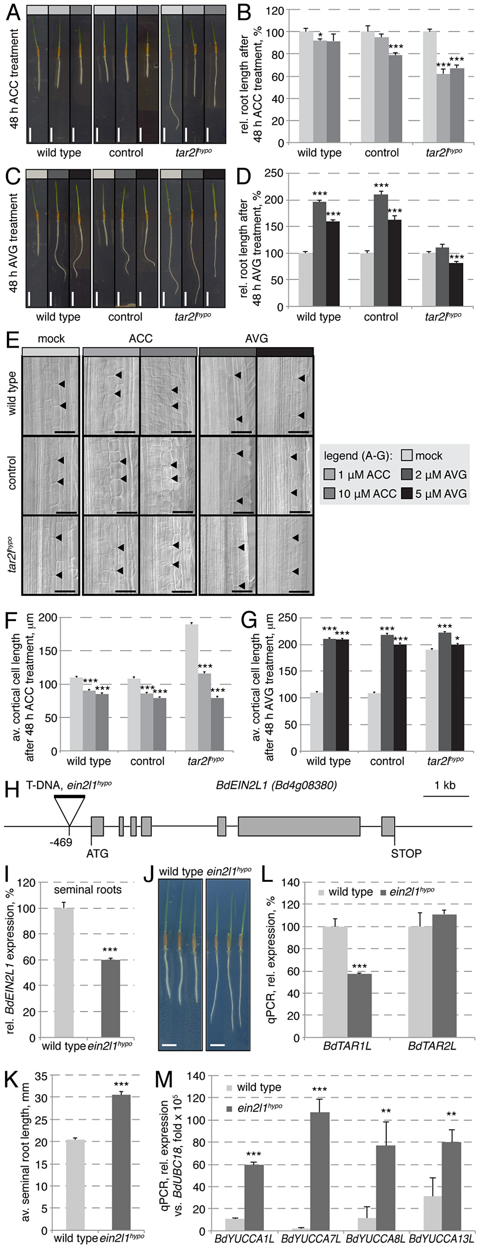 Manipulation of the ethylene pathway and its impact on root growth.