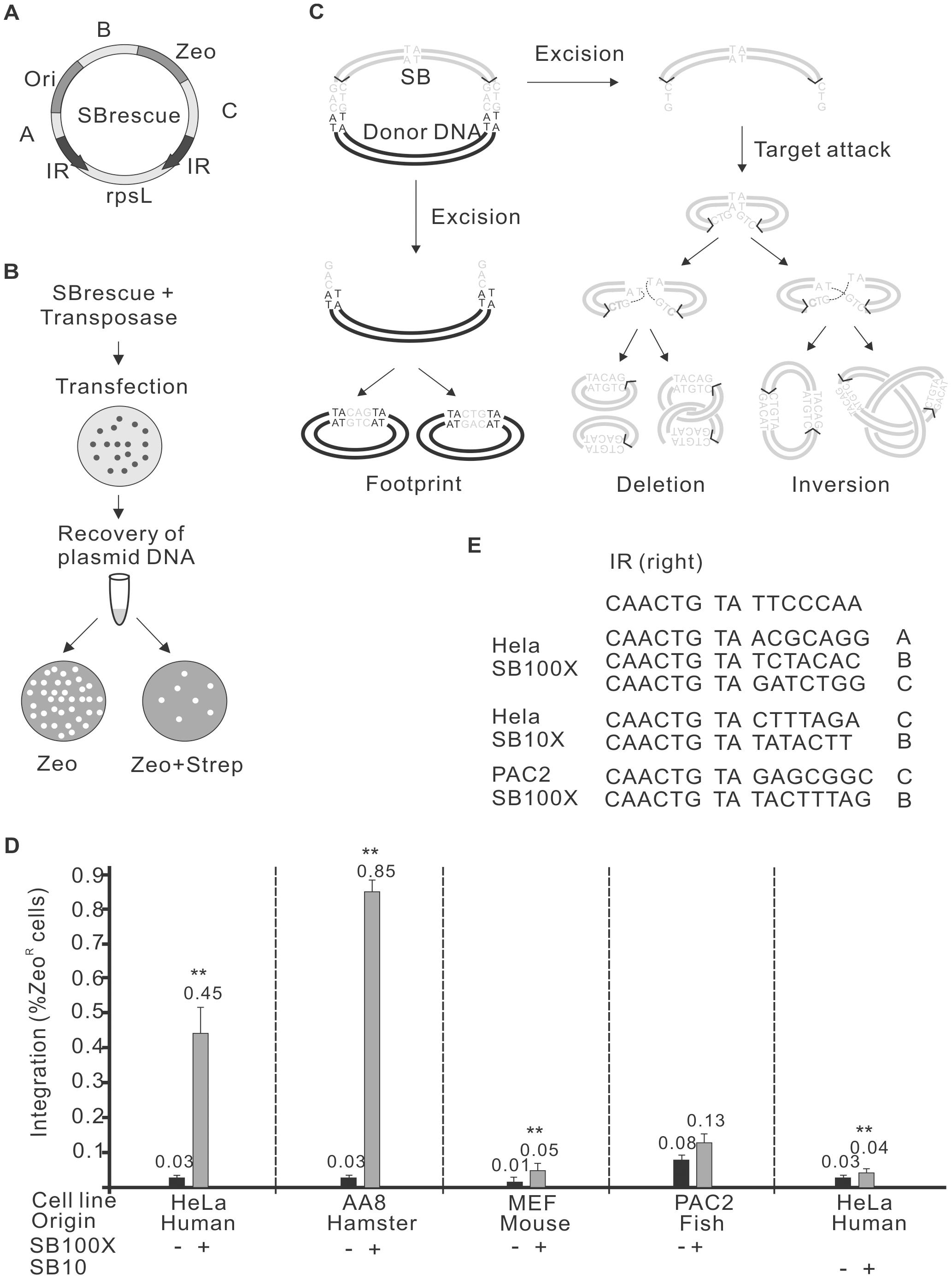 Autointegration of <i>SB</i> transposon.