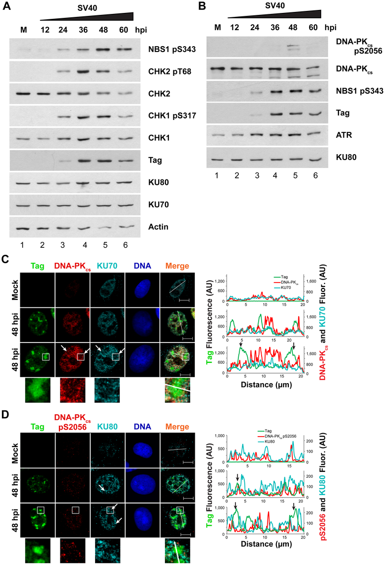 Factors that promote NHEJ do not co-localize with Tag in SV40-infected BSC40 cells.