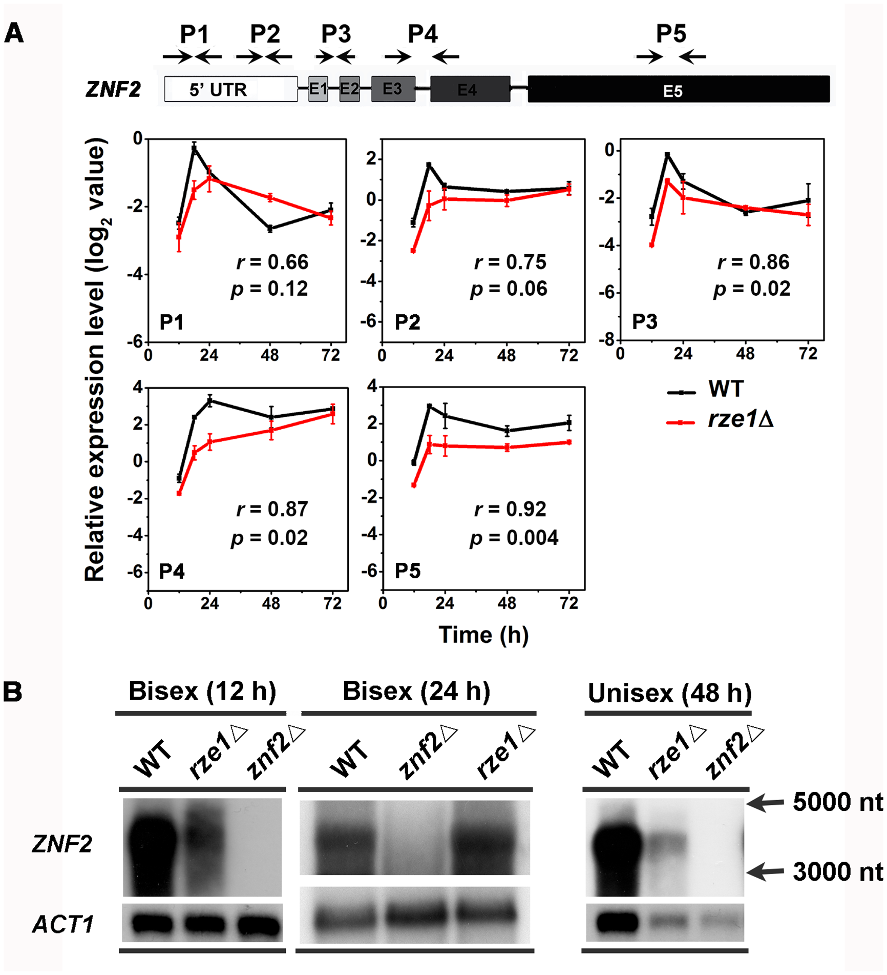 <i>ZNF2</i> transcript appears to be processed correctly in the absence of <i>RZE1</i>.