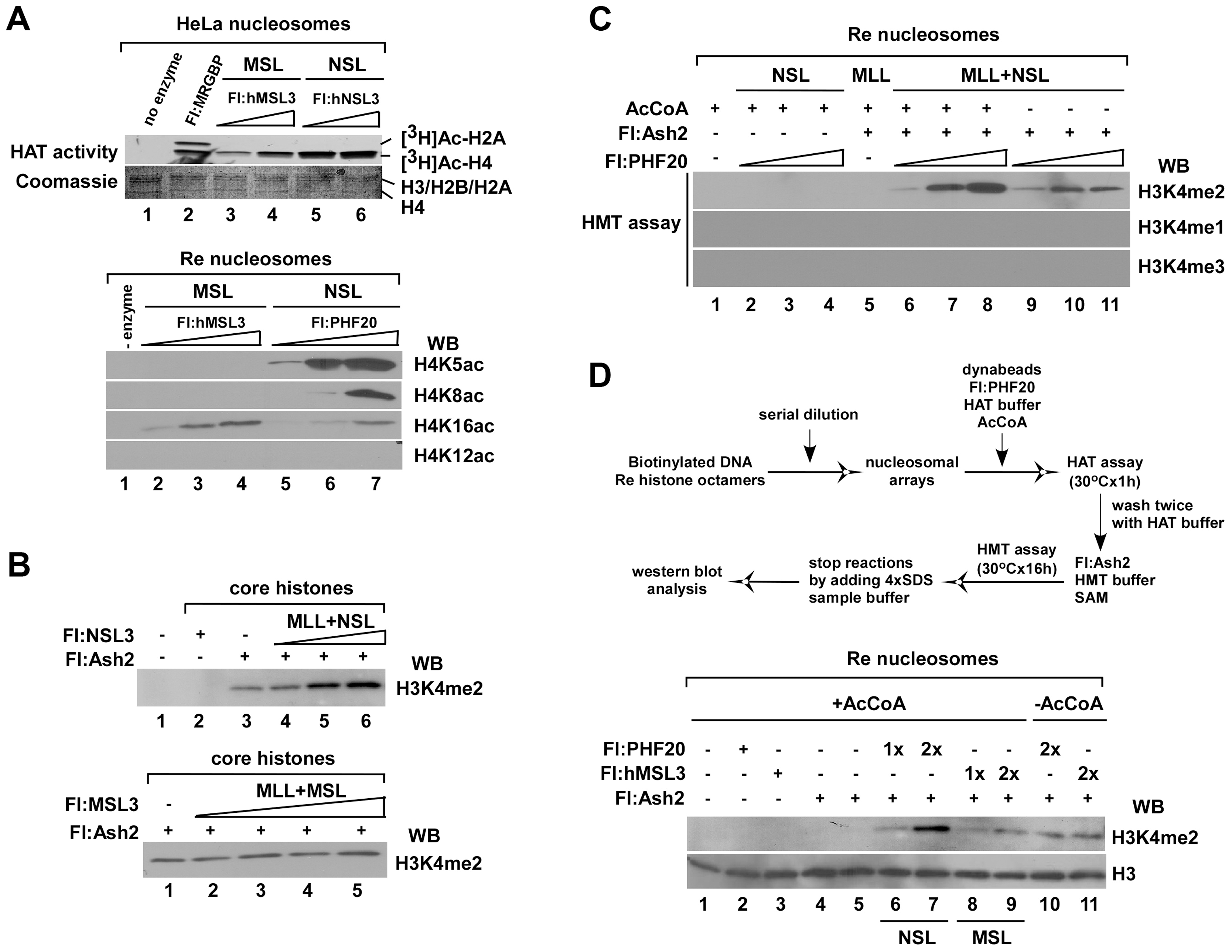 The HAT NSL complex, but not the MSL complex, promotes H3K4me2 by Flag-Ash2 <i>in vitro</i>.