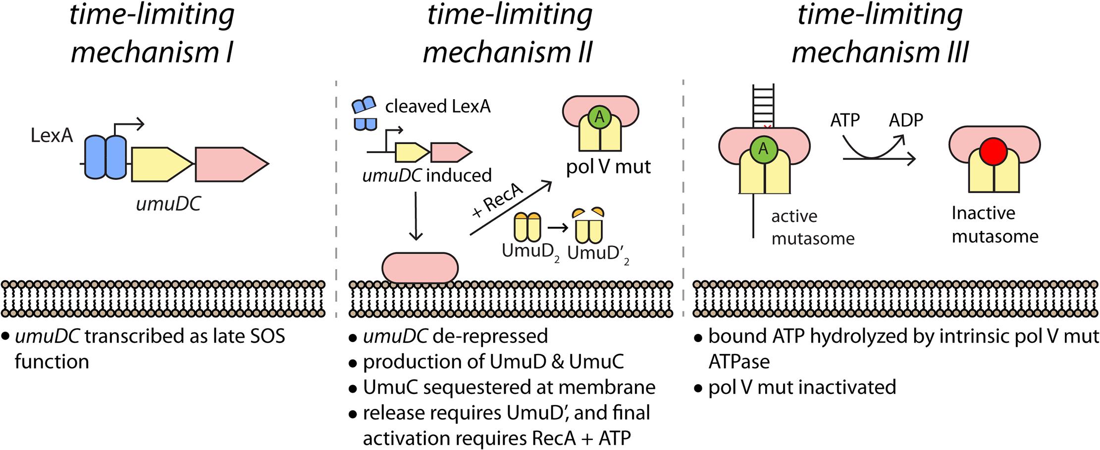 Multiple mechanisms limit pol V activity on DNA.
