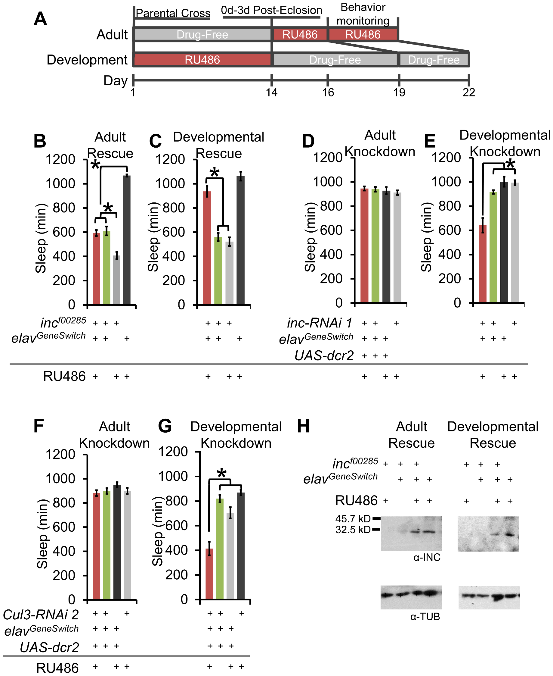 Developmental expression of <i>inc</i> and <i>Cul3</i> contributes to adult sleep behavior.
