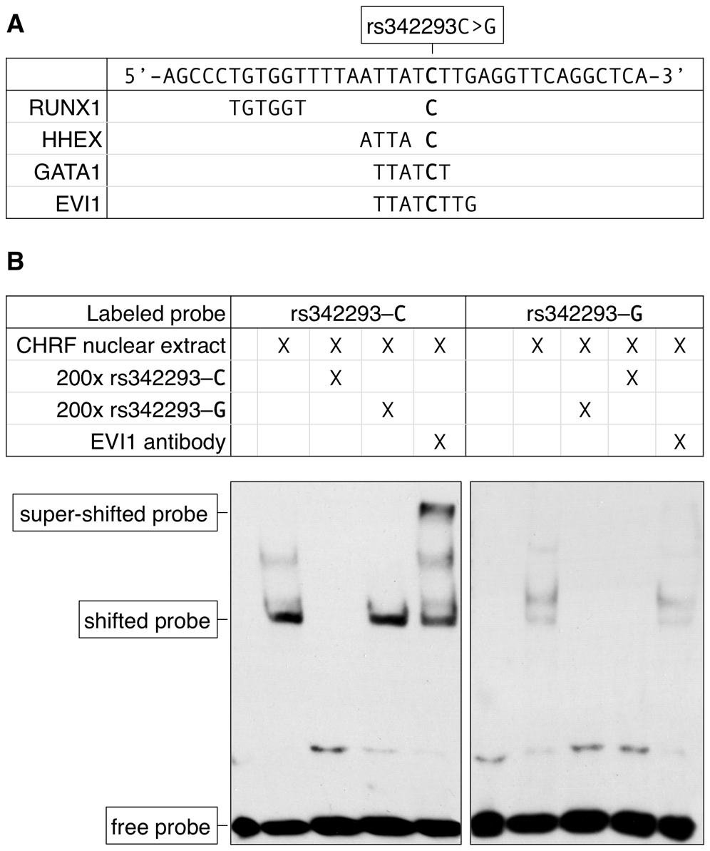 The effect of rs342293C>G on transcription factor binding.