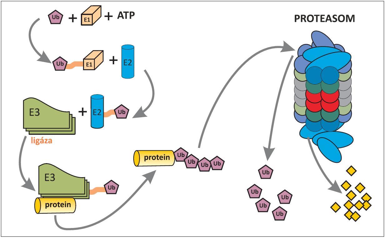 Schéma ubiquitinylace proteinu určeného k degradaci v proteasomu. Ubiquitin (Ub)-proteasomový systém, rozptýlený v cytoplazmû i jádru buňky, spočívá ve třístupňové enzymatické kaskádů (E1 až E3), ve které dochází za použití energie (ATP) k označení proteinu, určeného pro rozklad v proteasomu. Pomocí enzymů E1 a E2 je ubiquitin aktivován a pomocí enzymu E3 (ubiquitinligáza) se aktivovaný ubiquitin naváže na protein určený k degradaci. Pro dopravu označeného proteinu do proteasomu je nezbytné navázání alespoň čtyř ubiquitinů, které mají afinitu k proteasomu. Proteasom, jakýsi minimixer, obsahuje proteolytické enzymy, kterými je označený protein rozložen na peptidy (žluté čtverečky). Uvolněné ubiquitiny mohou být znovu použity na označení dalších proteinů k degradaci (22, 23).