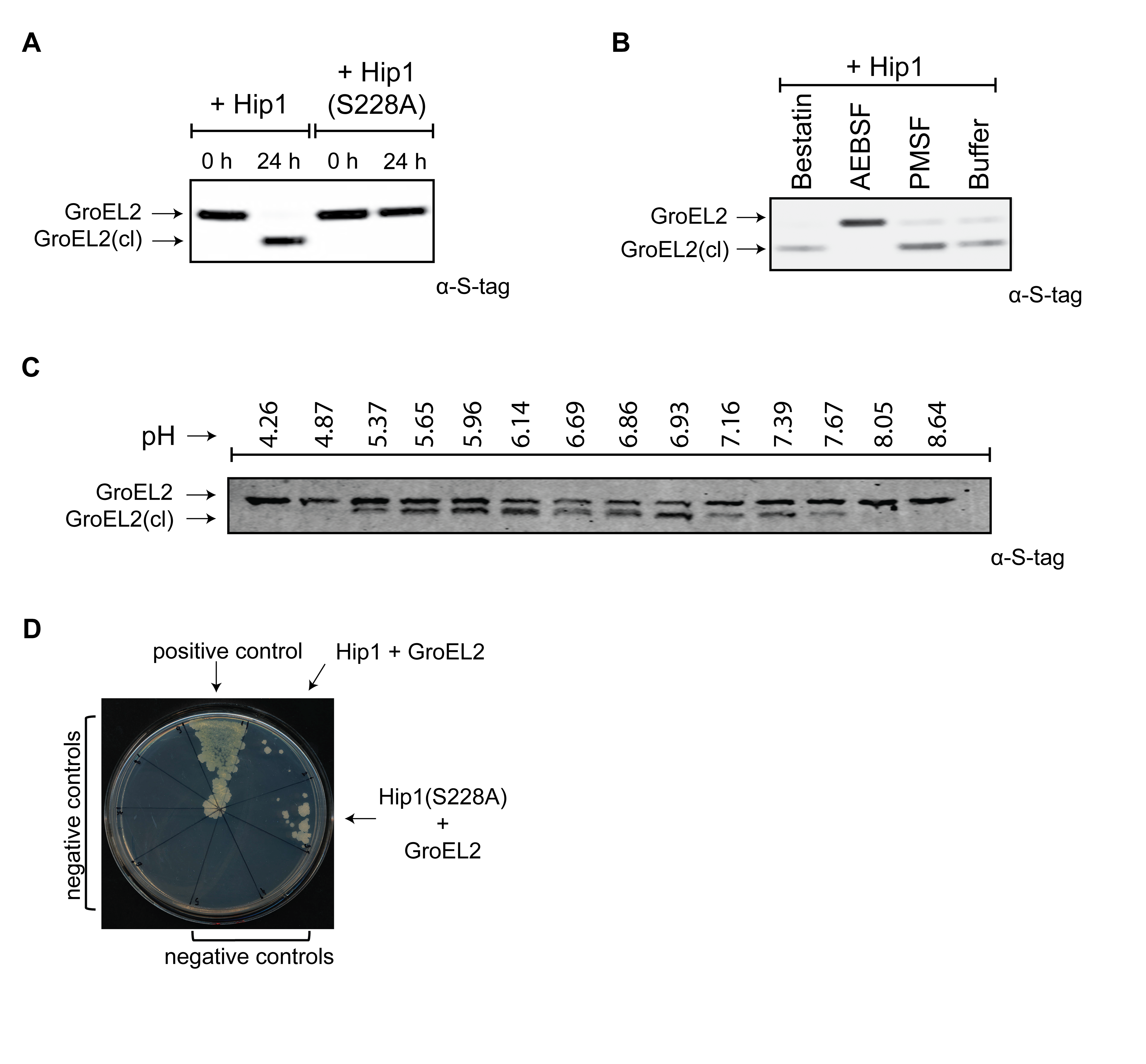 <i>Mtb</i> GroEL2 is a physiological substrate of Hip1 protease activity.