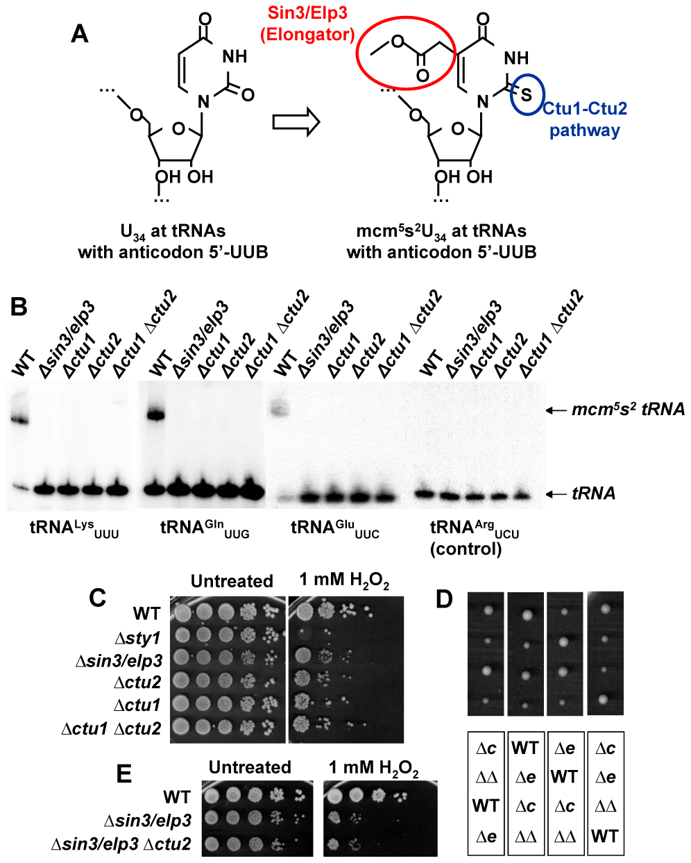 Sin3/Elp3 is required for modification of uridine-34 (U<sub>34</sub>) at the anticodon of some cytoplasmic tRNAs.