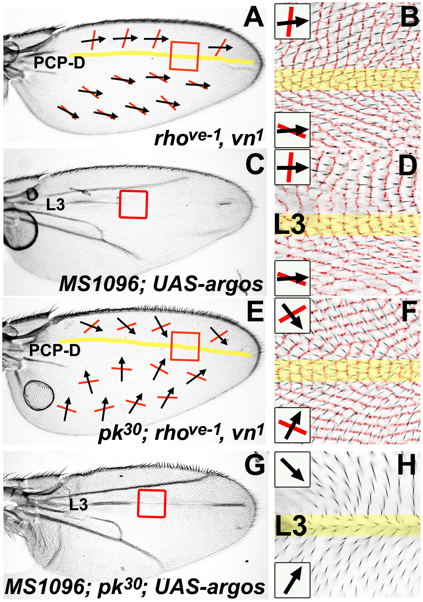 A PCP discontinuity (PCP-D) on the <i>Drosophila</i> wing.