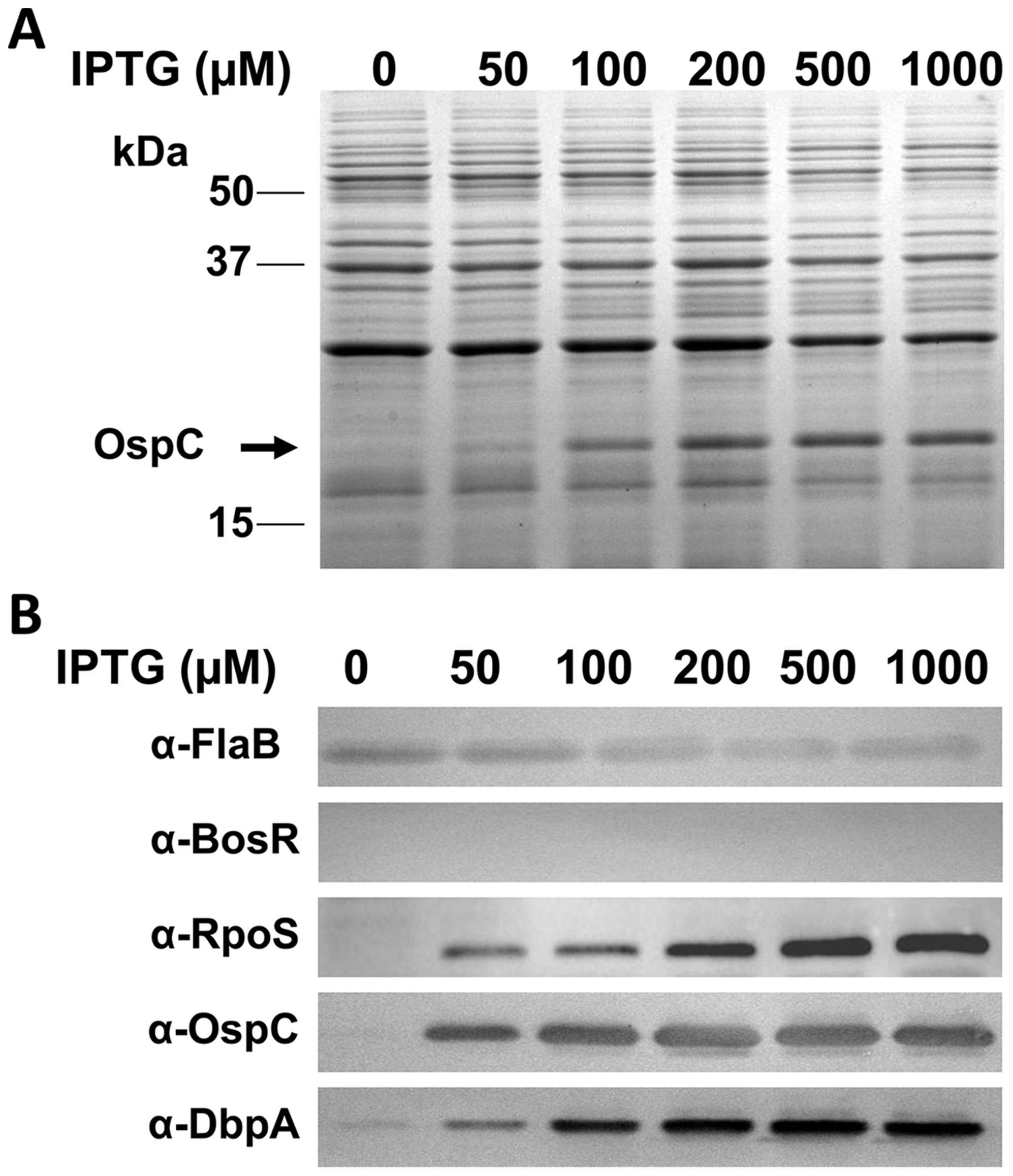 Induction of <i>rpoS</i> by IPTG results in the synthesis of OspC and DbpA in the <i>bosR</i> mutant.