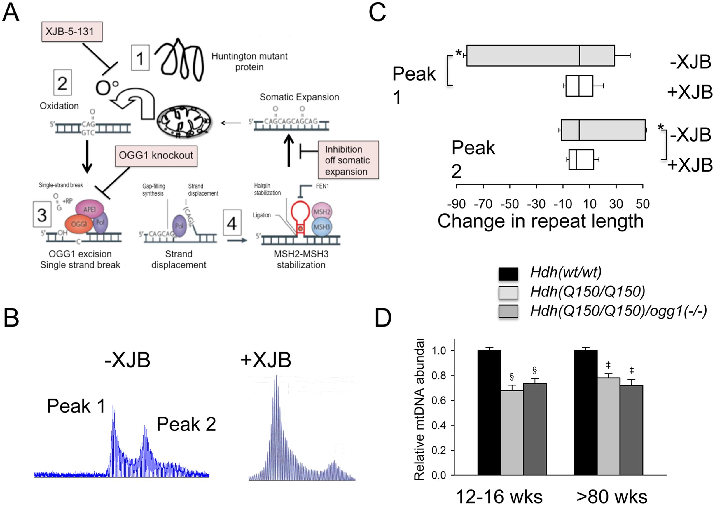 Pharmacological intervention suppresses oxidative DNA damage and somatic mutation <i>in vivo</i>.