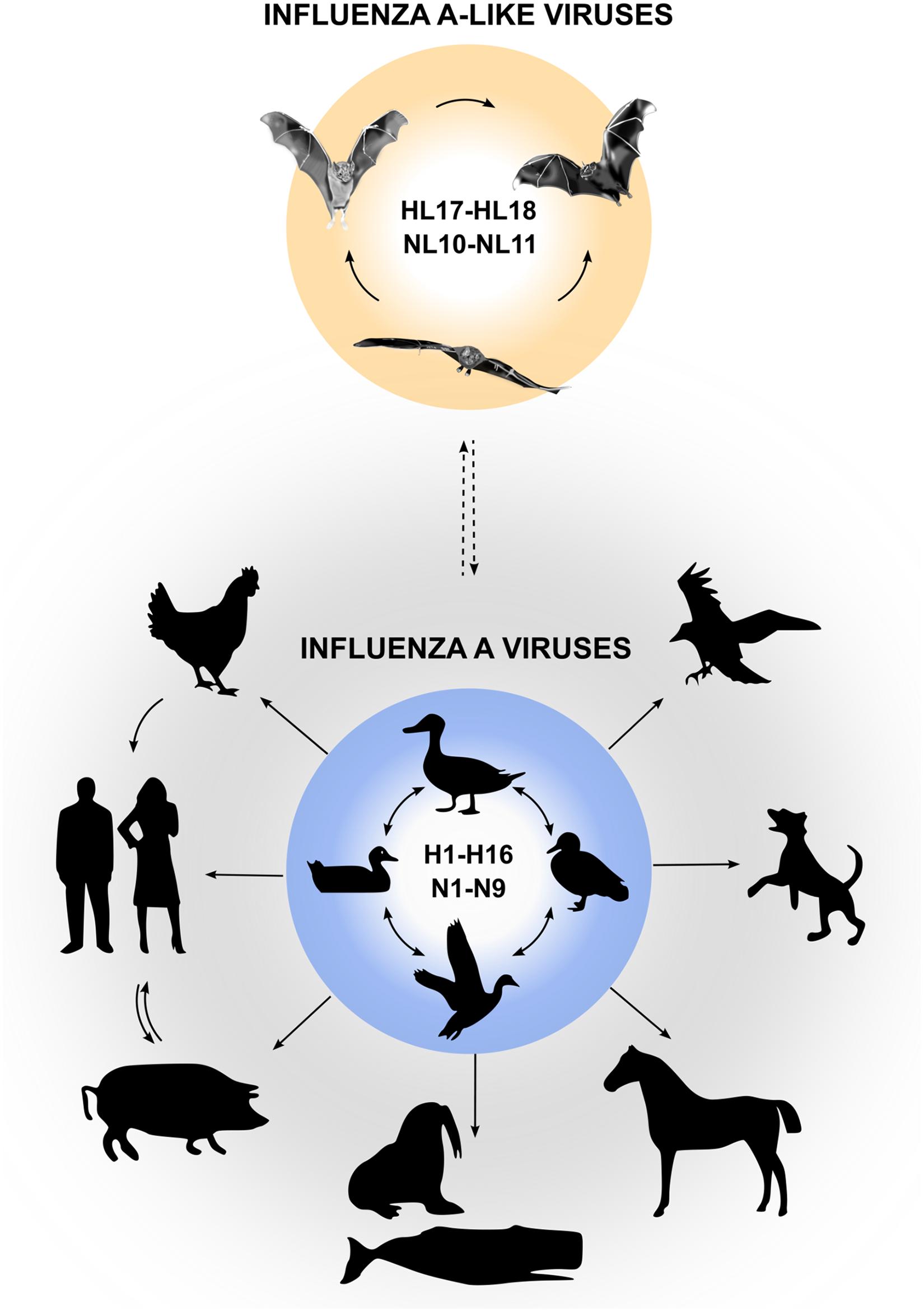 Reservoirs of IAVs and bat influenza-A-like viruses.