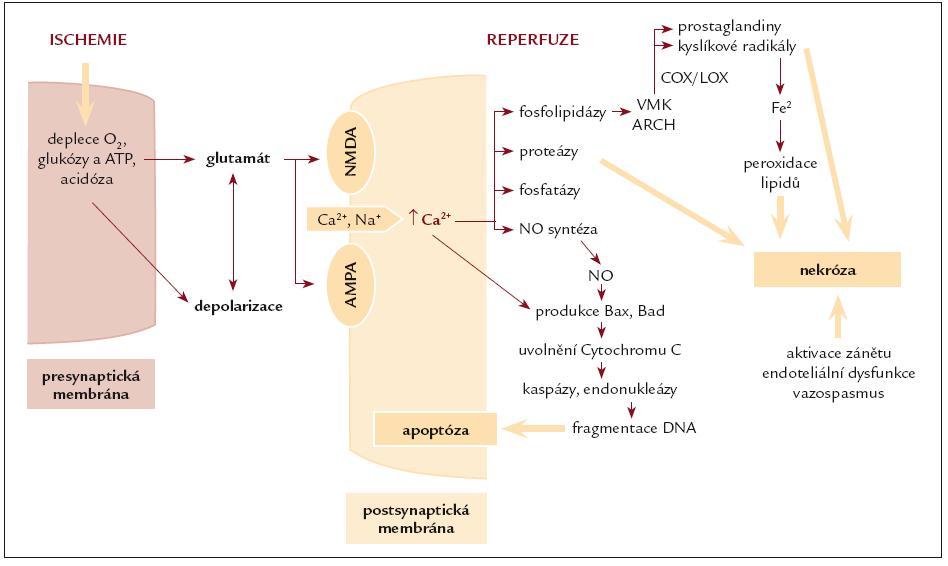 Celulární a subcelulární mechanizmy ischemicko-reperfuzního poškození mozku. Schéma sestaveno autory podle více zdrojů [5,6,100].