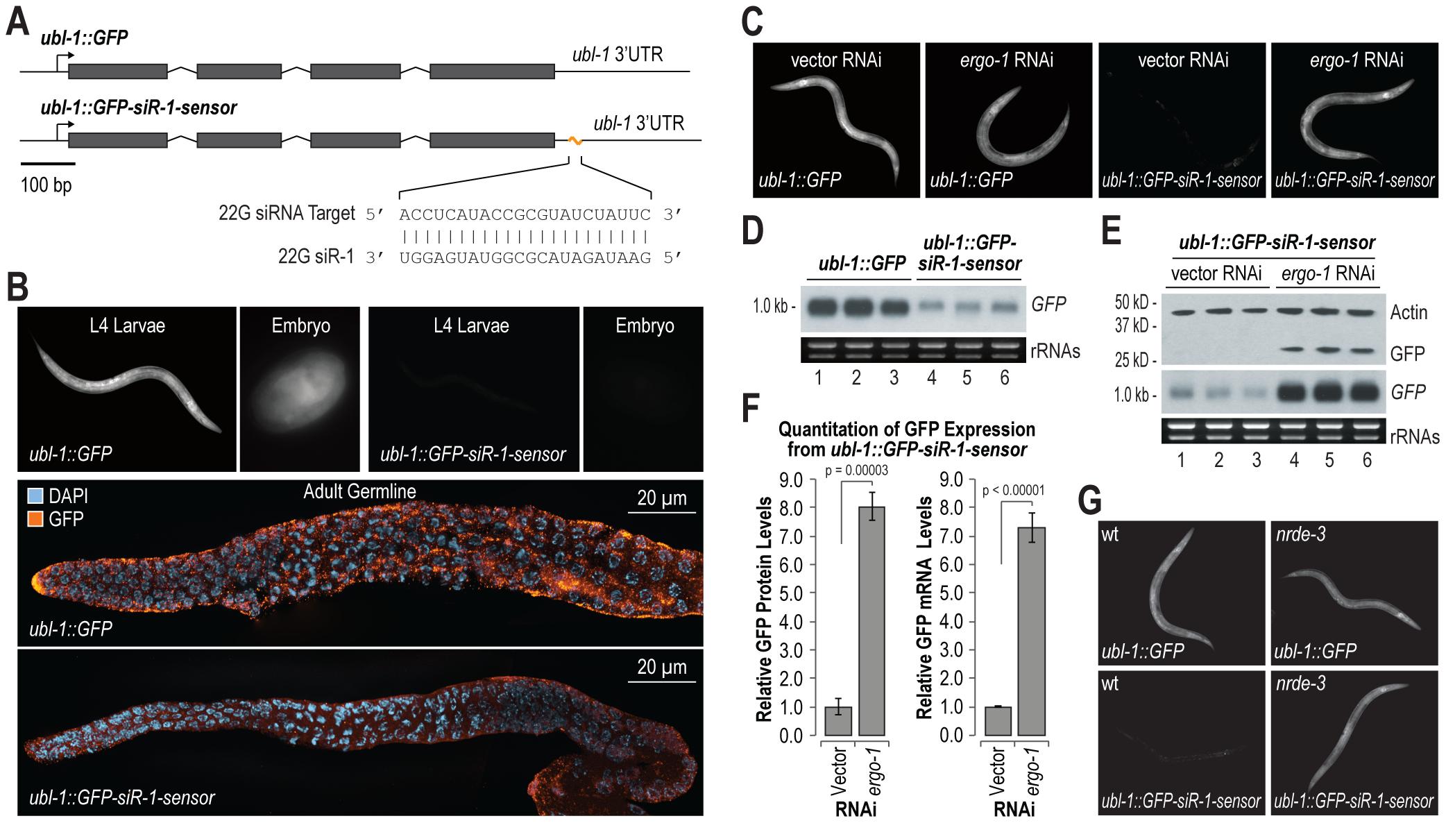 Endogenous siRNA sensor design and validation.