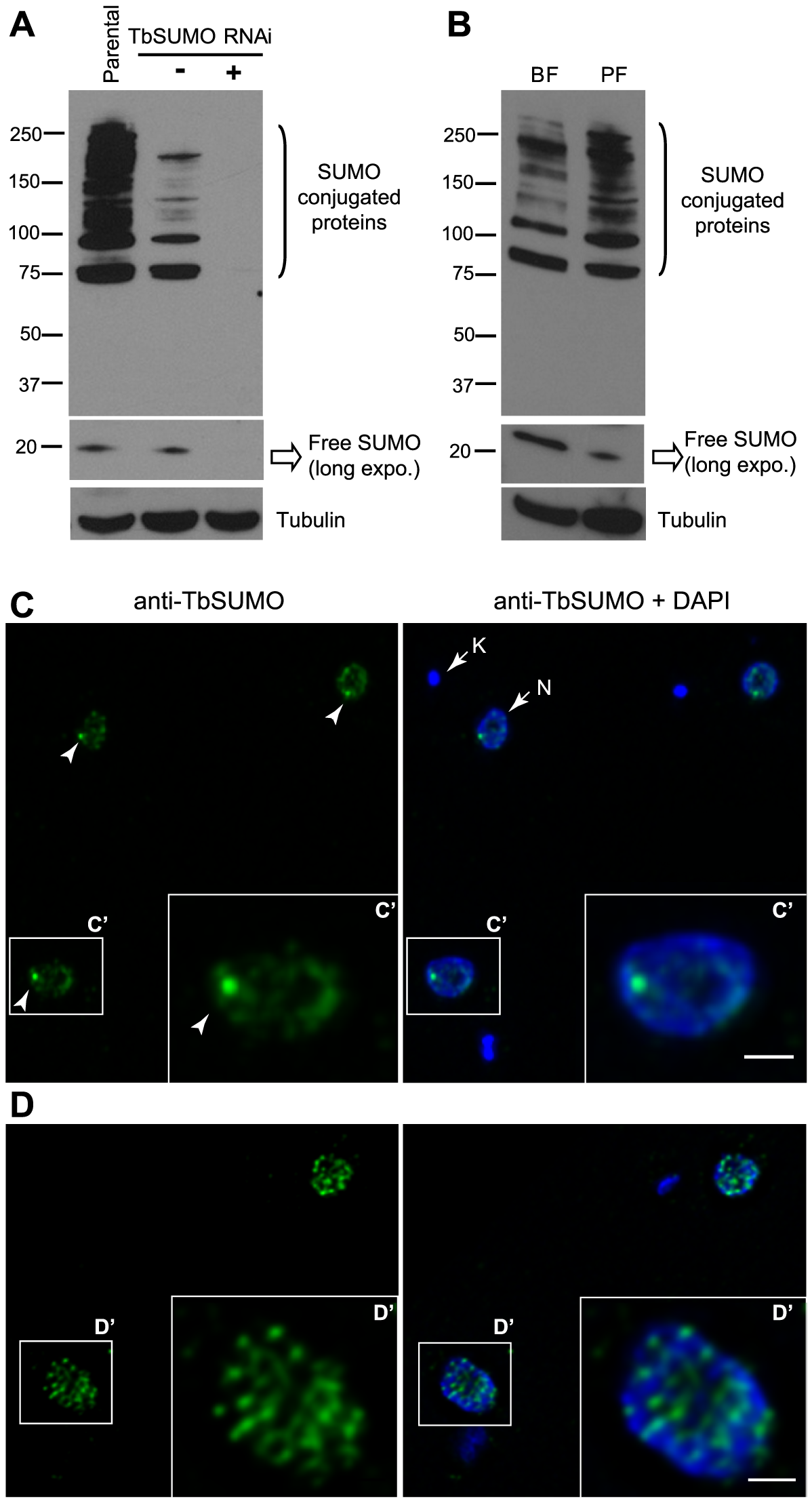 Expression pattern and subcellular localization of <i>T. brucei</i> SUMOylated proteins.
