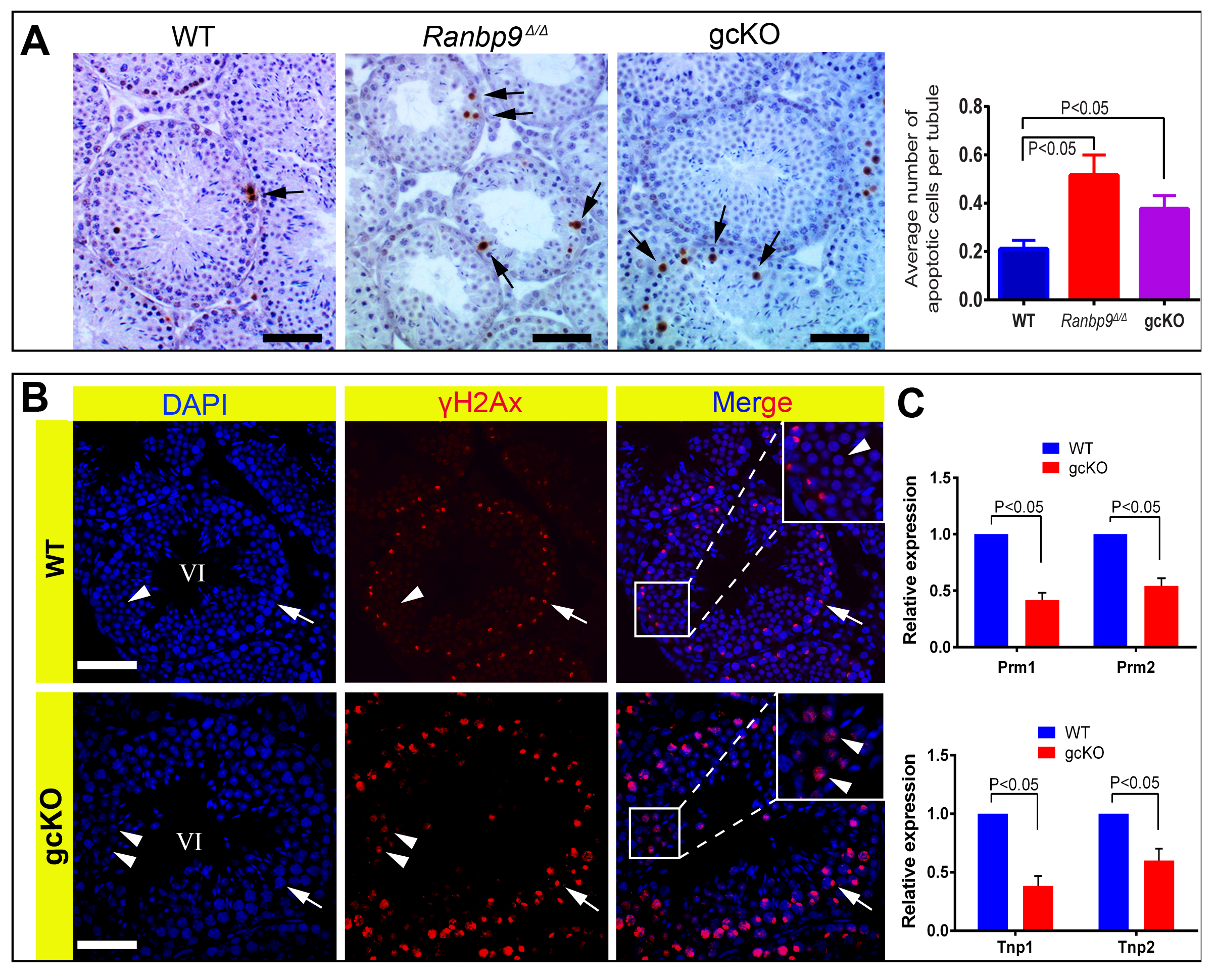 <i>Ranbp9</i> deficiency causes male germ cell apoptosis and DNA double-strand breaks.