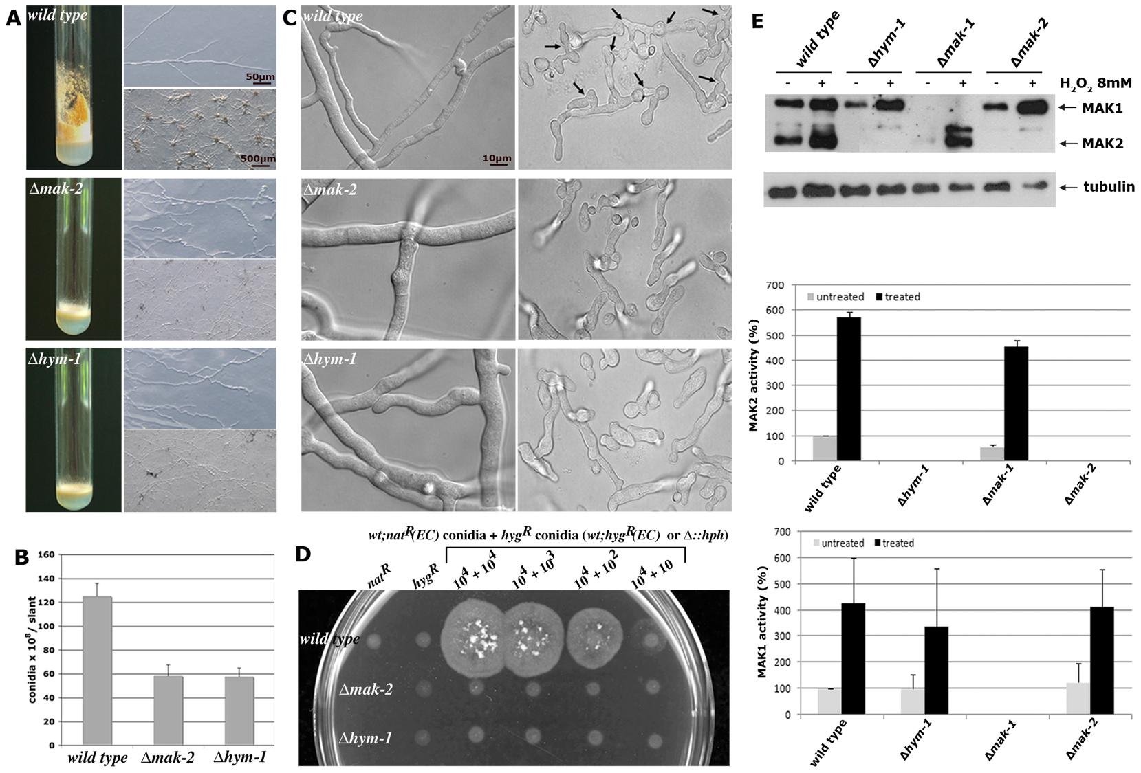 Δ<i>hym-1</i> displays phenotypic characteristics of MAK2 MAP kinase pathway mutants.