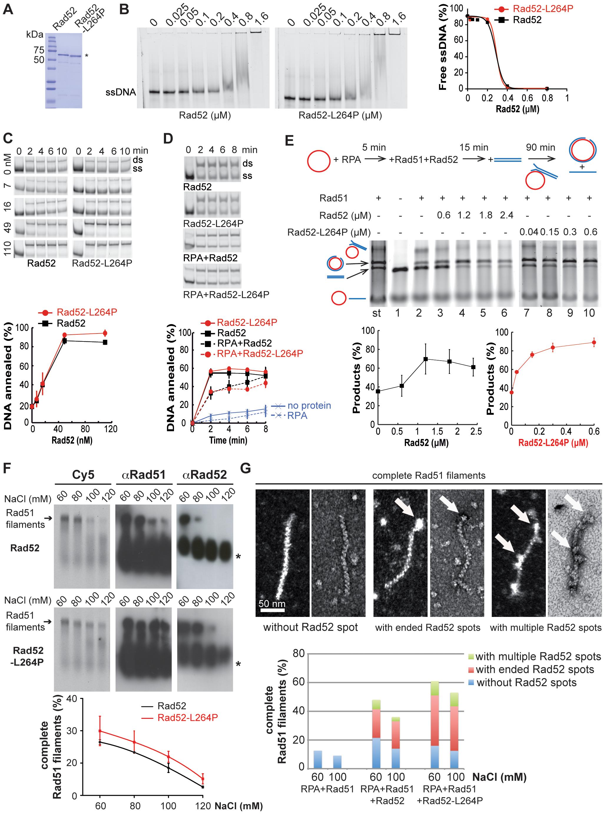 Biochemical analysis of Rad52-L264P-mediated filaments.