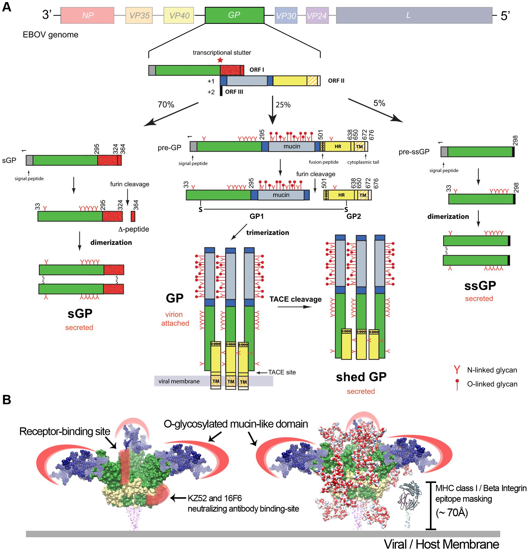 Ebola virus glycoproteins.