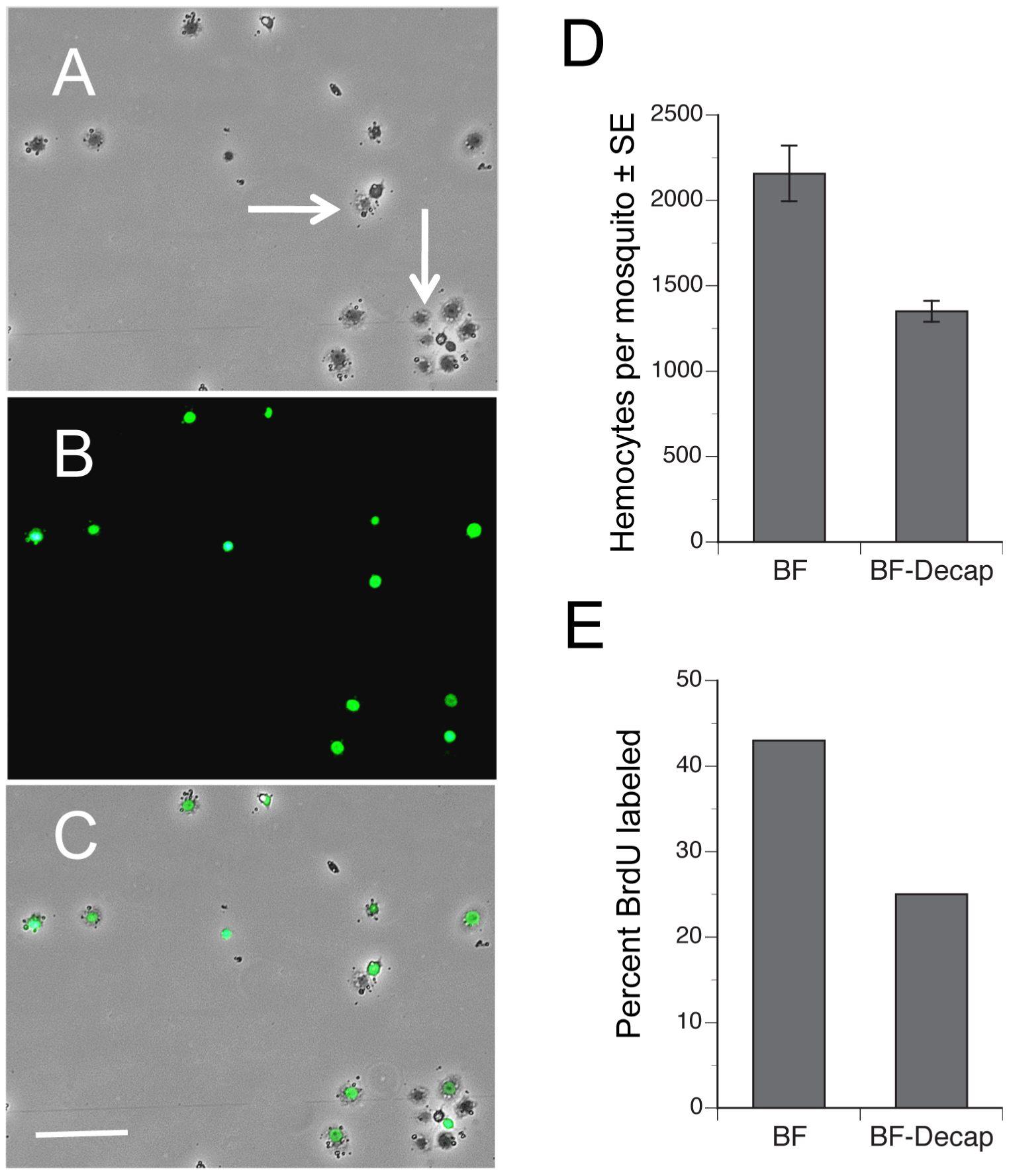 Blood feeding increases the proportion of hemocytes labeled by BrdU.