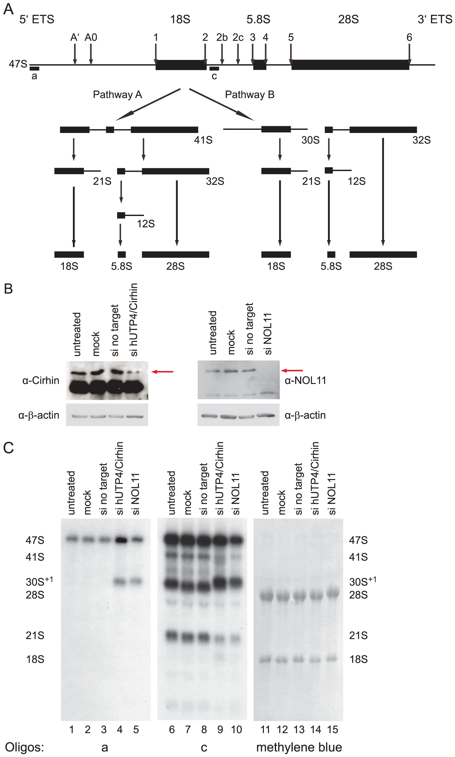 NOL11 is required for pre-rRNA processing in HeLa cells.