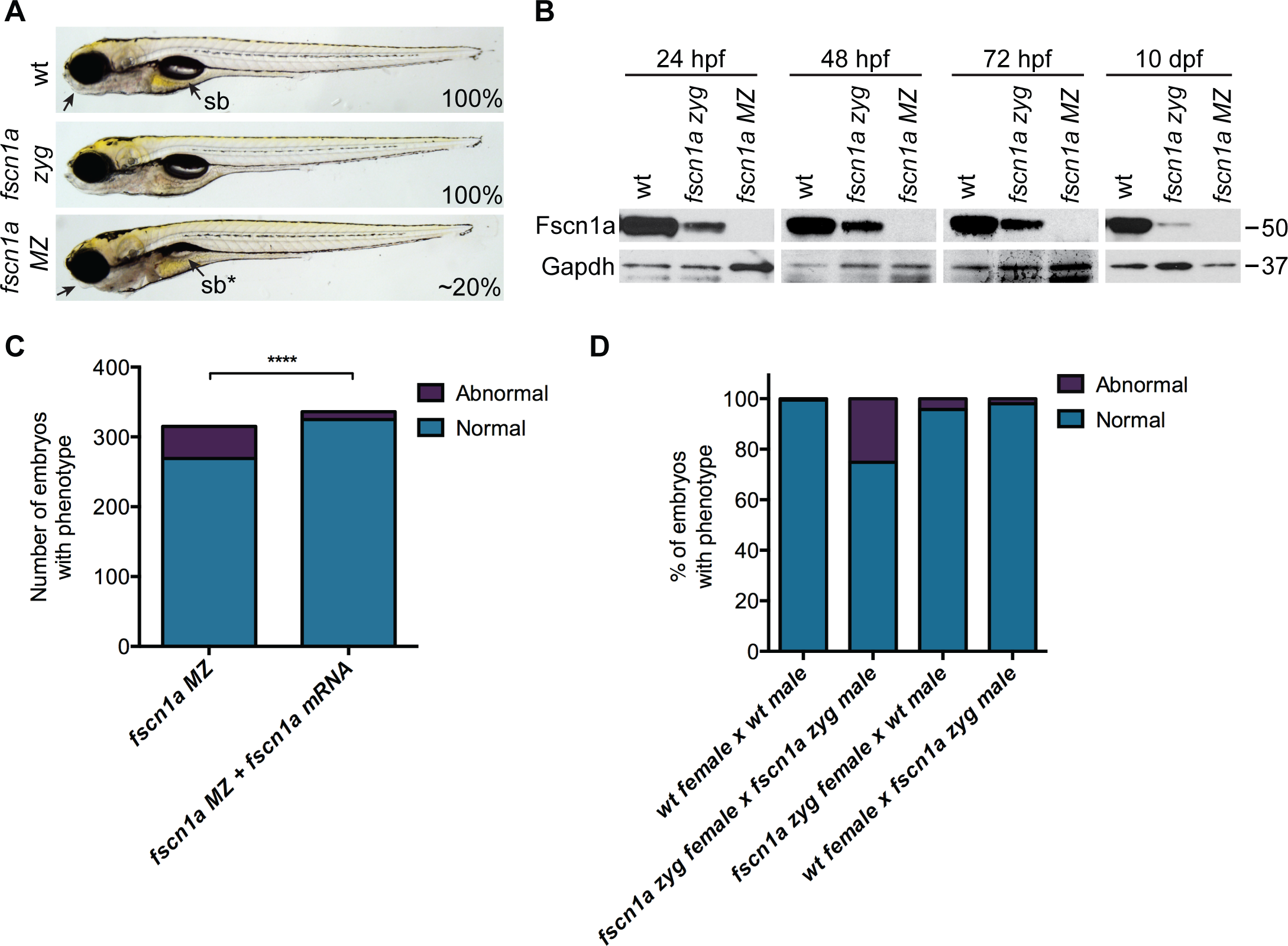Maternal Fscn1a protein persists throughout embryogenesis and masks morphological defects in <i>fscn1a</i> zygotic mutants.