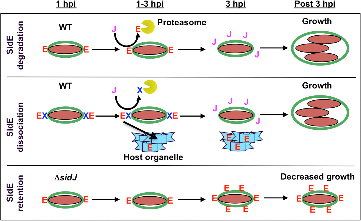 Model showing SidJ-mediated removal of SidE proteins from the <i>Legionella</i> containing vacuole (LCV).