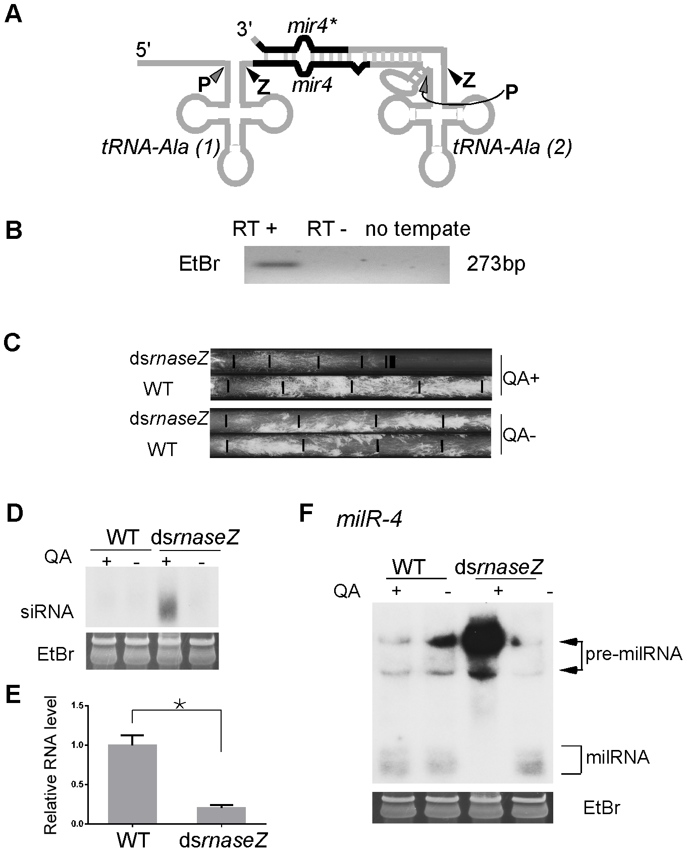 RNase Z is required for <i>milR-4</i> processing.