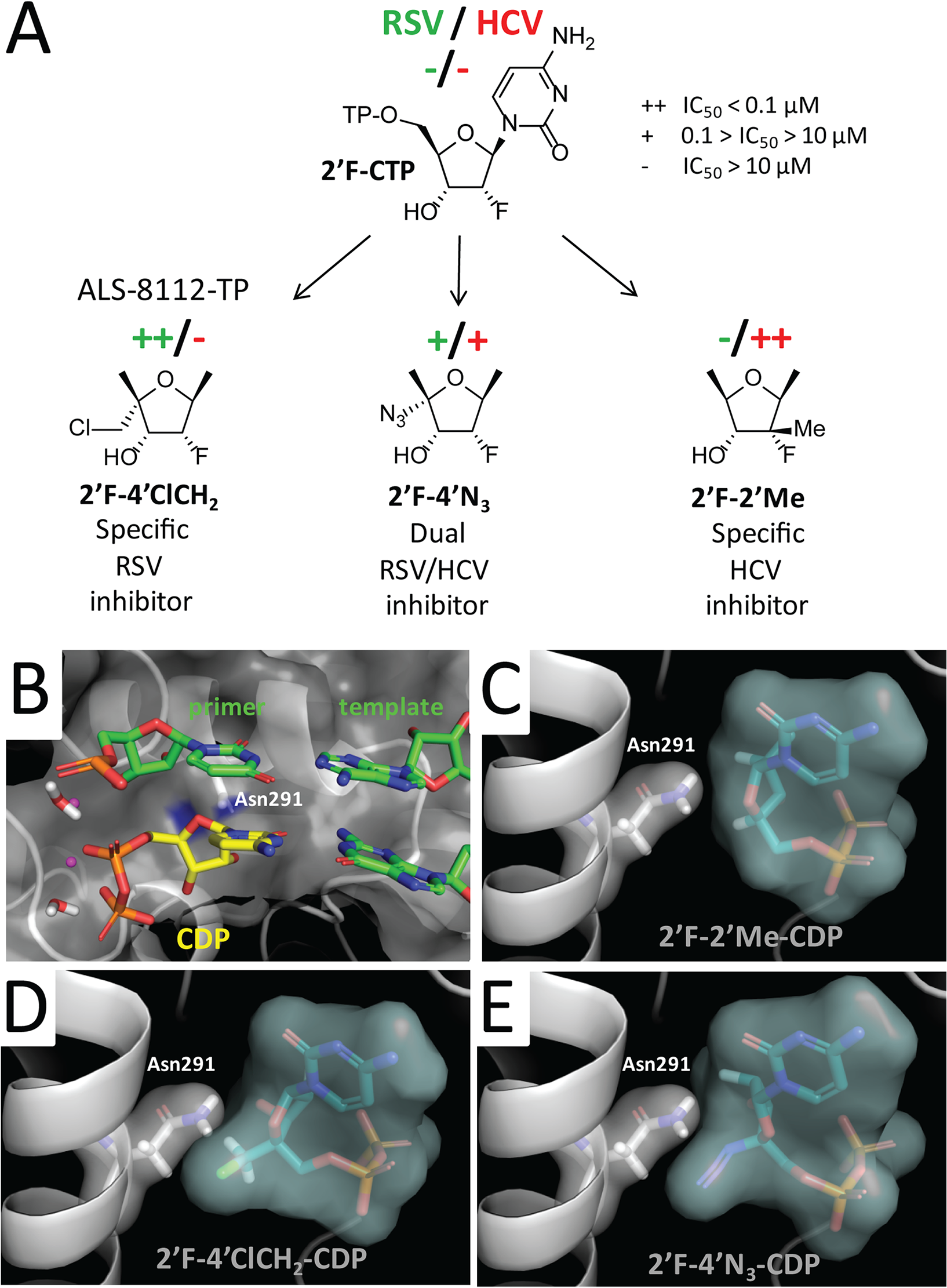 Rational design of ALS-8112 as a selective RSV inhibitor.