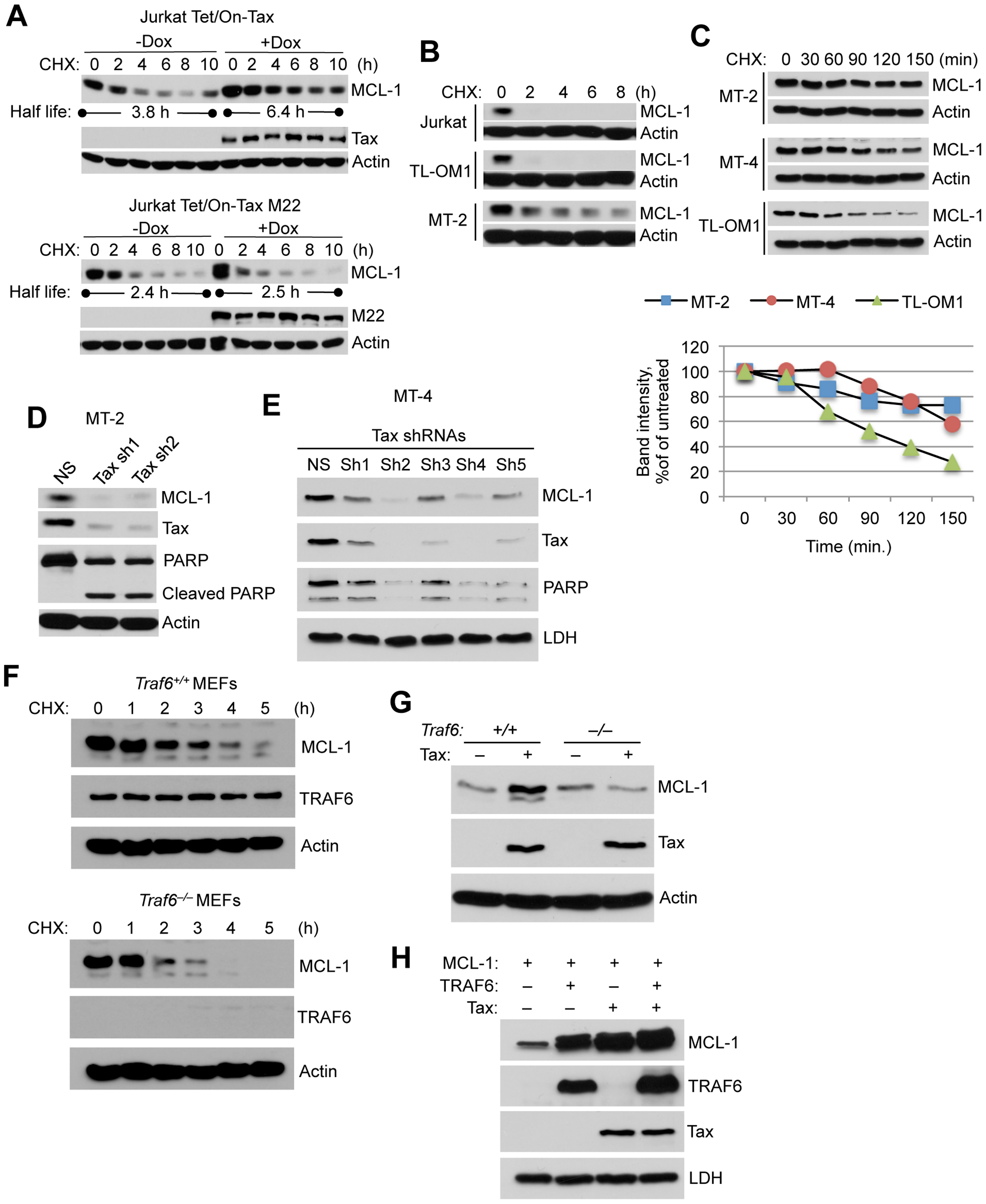 Tax stabilizes MCL-1 in an IKK and TRAF6-dependent manner.