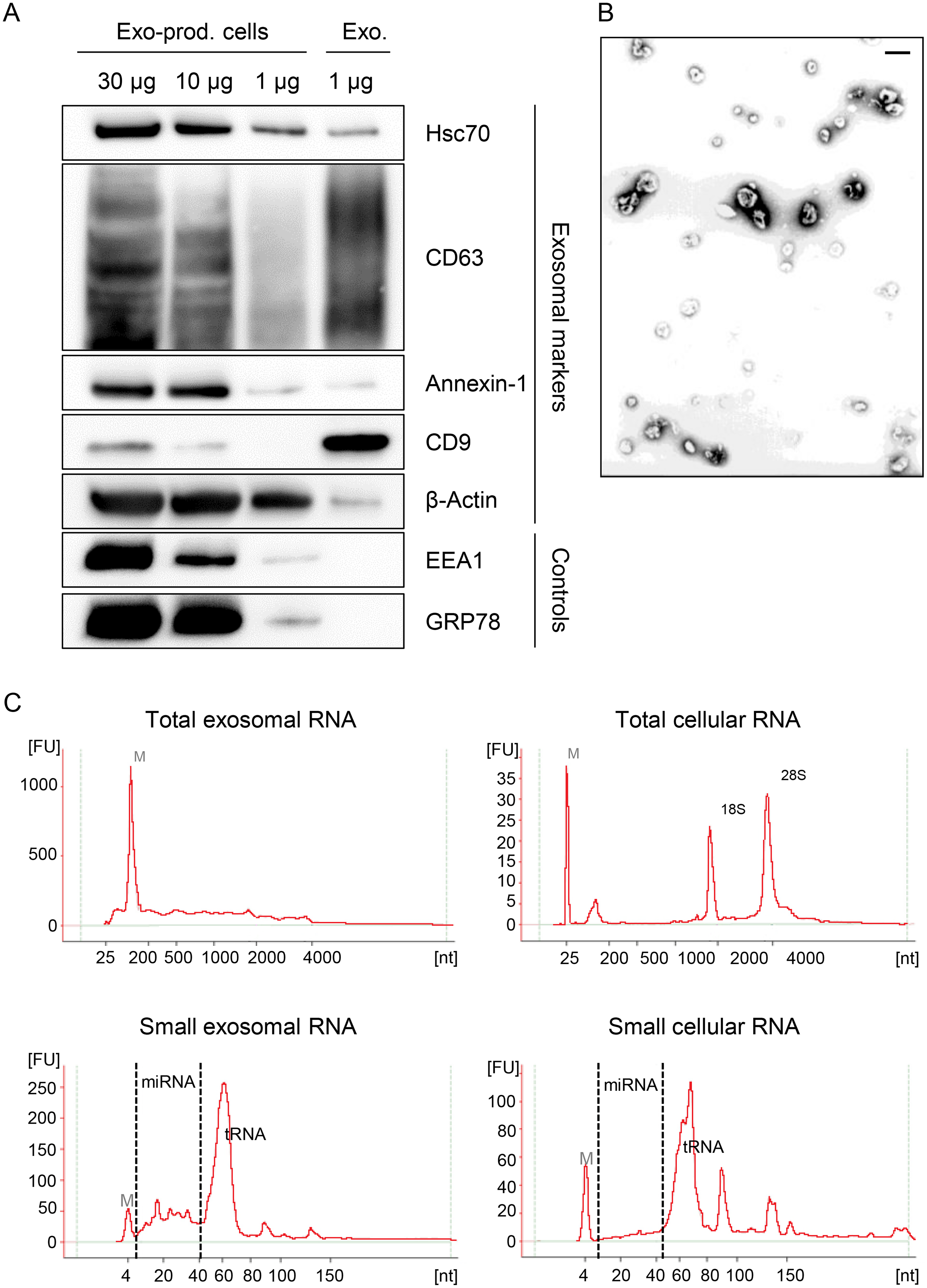 Characterization of exosomes secreted by HeLa cells used for small RNA deep sequencing.