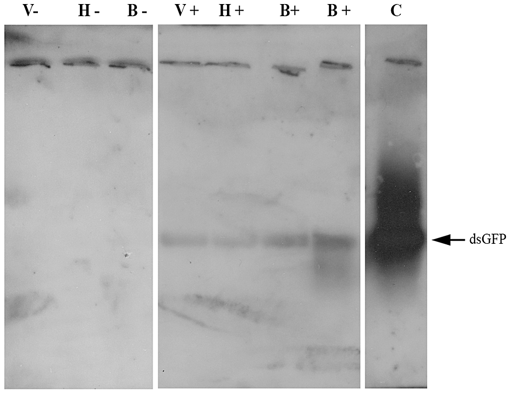 Demonstration of dsRNA transmission from adult bee to <i>Varroa</i> via the bee hemolymph.