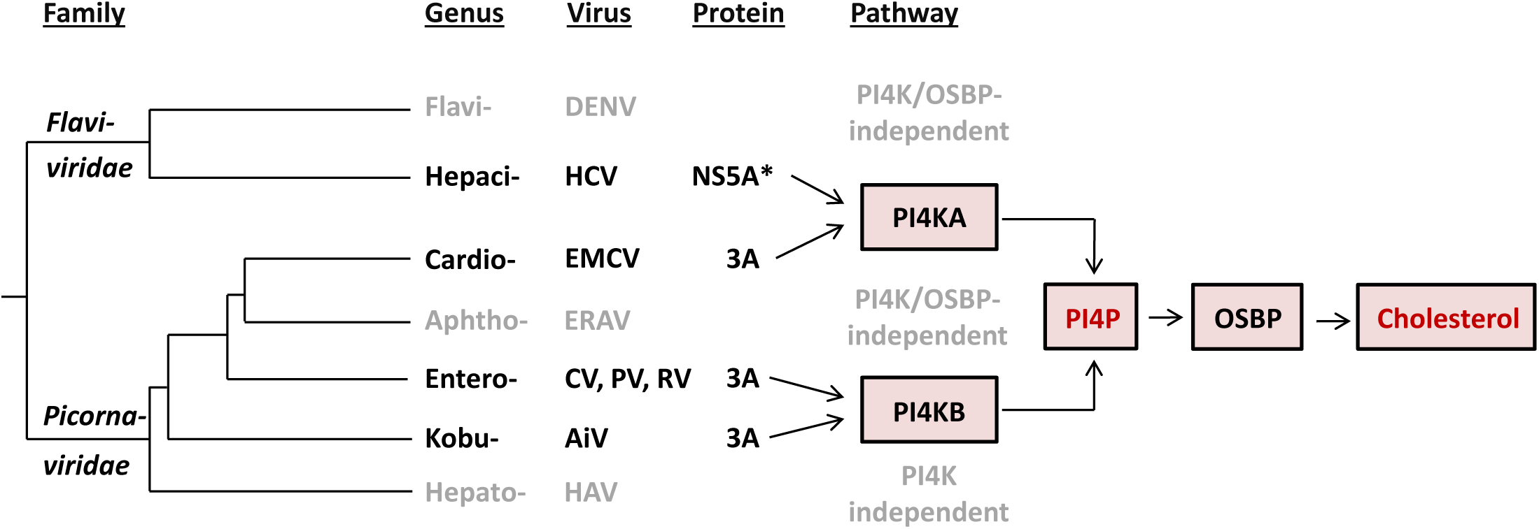 Evolution of the recruitment of lipid-modulating pathways by picorna- and flaviviruses.
