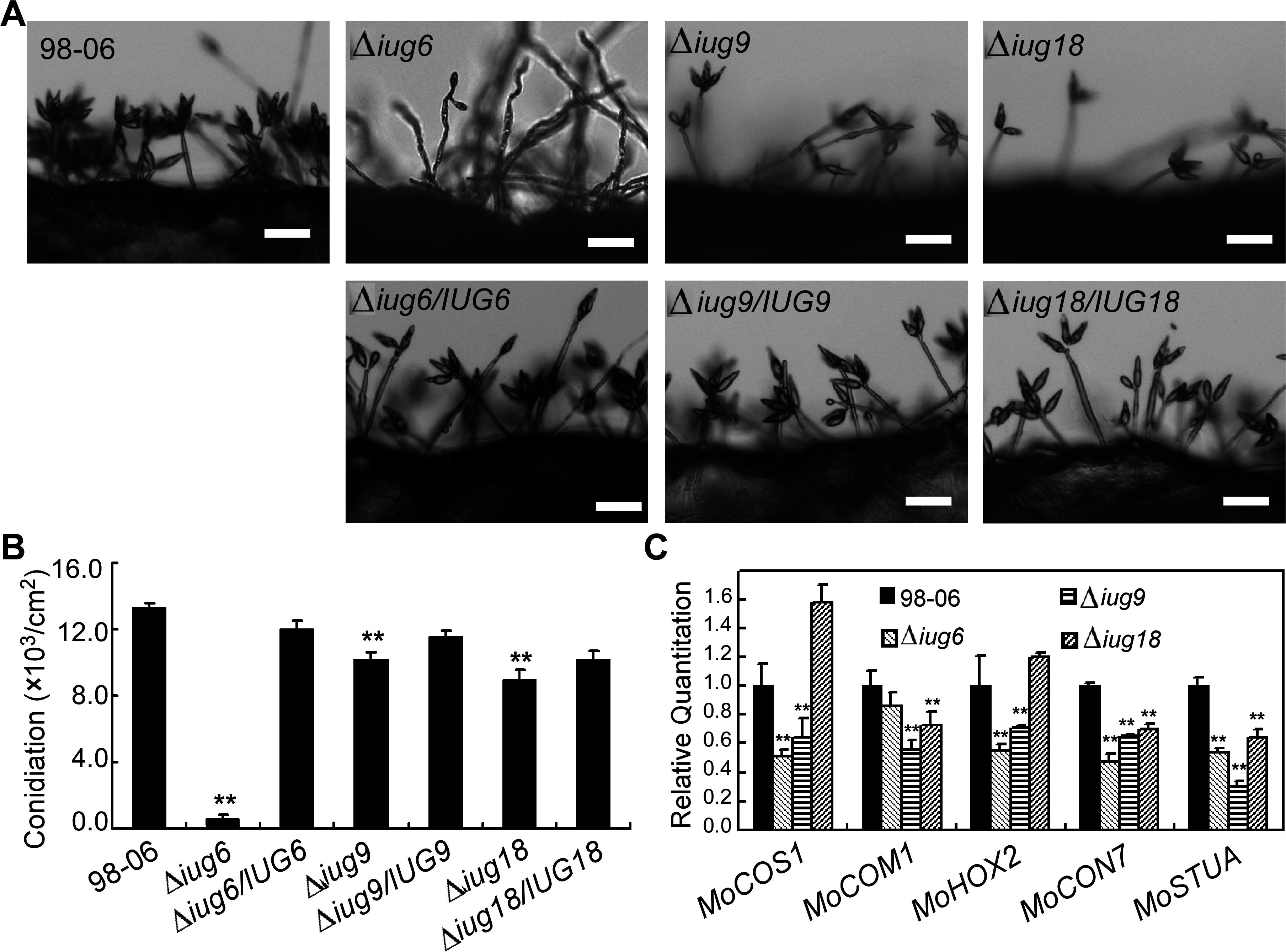 Disruption of <i>IUG</i> genes lead to reduced conidiation.